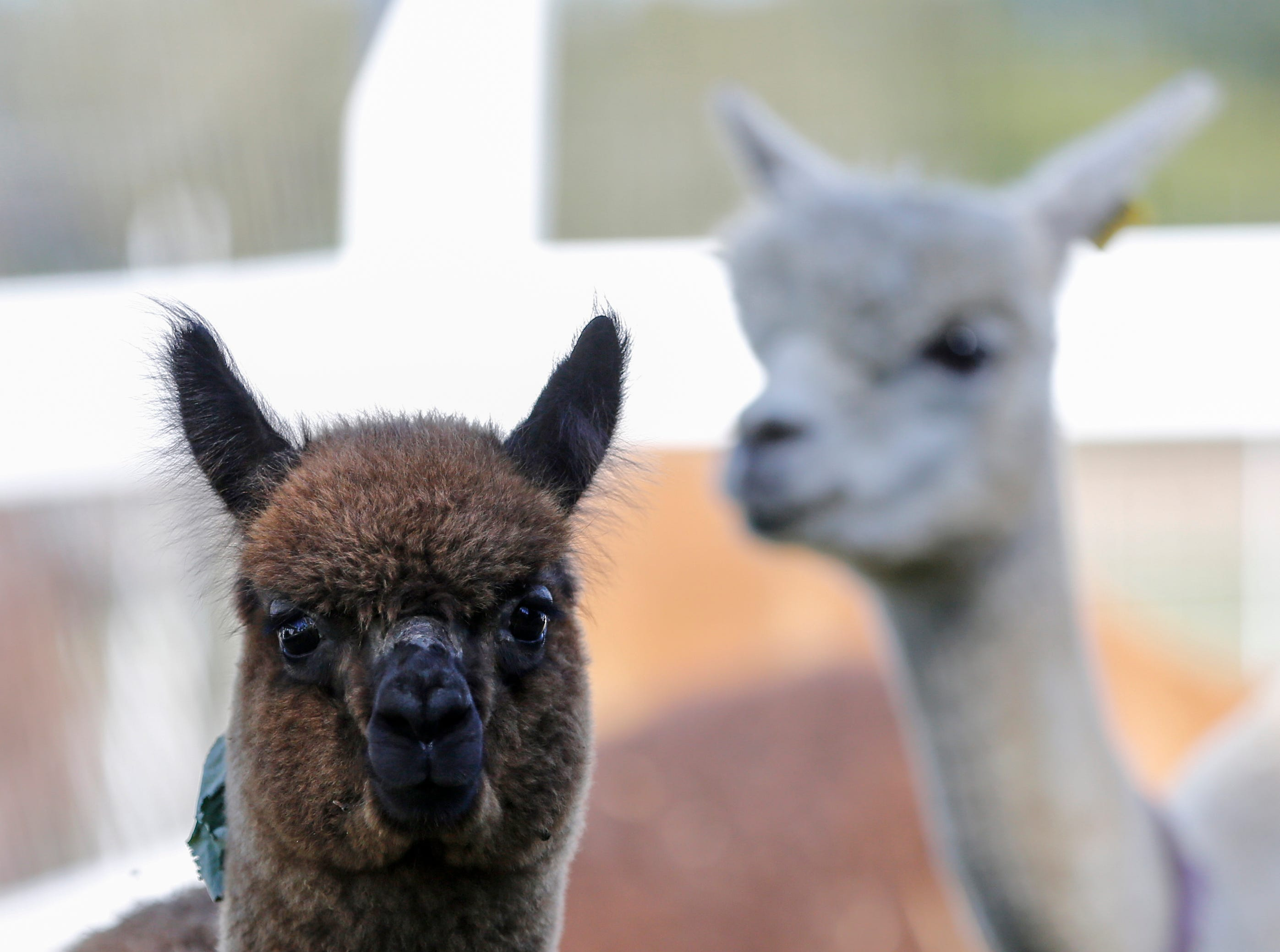 Alpacas on LondonDairy Alpaca Ranch during National Alpaca Days Saturday, September 22, 2018, in Two Rivers, Wis. Josh Clark/USA TODAY NETWORK-Wisconsin
