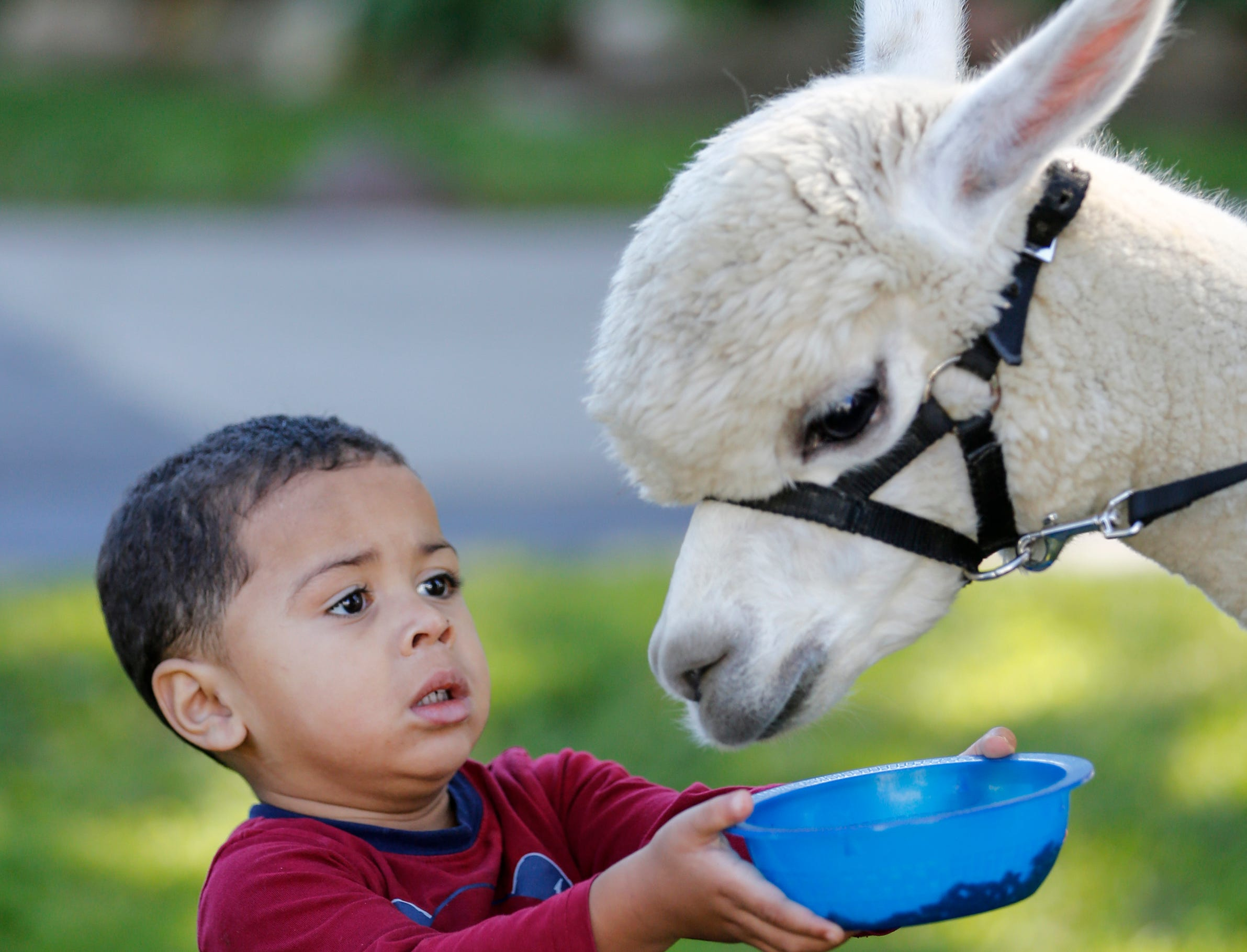 Milo Revees, 2, of Manitowoc, attempts to feed an alpaca during National Alpaca Days at LondonDairy Alpaca Ranch Saturday, September 22, 2018, in Two Rivers, Wis. Josh Clark/USA TODAY NETWORK-Wisconsin