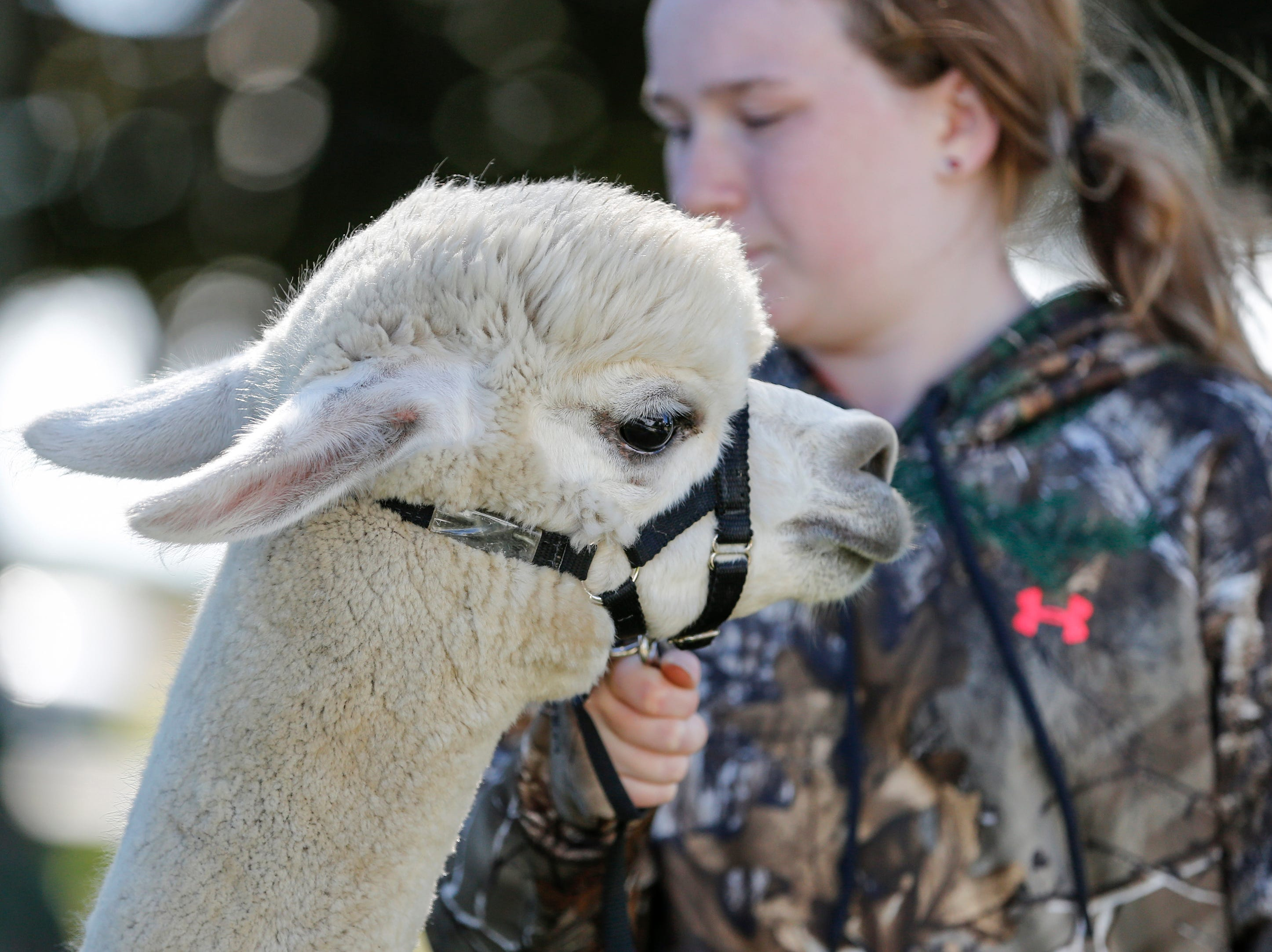 Ellie Hanson, 11, of the Manitowoc County 4-H Alpaca Project holds her alpaca during National Alpaca Days at LondonDairy Alpaca Ranch Saturday, September 22, 2018, in Two Rivers, Wis. Josh Clark/USA TODAY NETWORK-Wisconsin