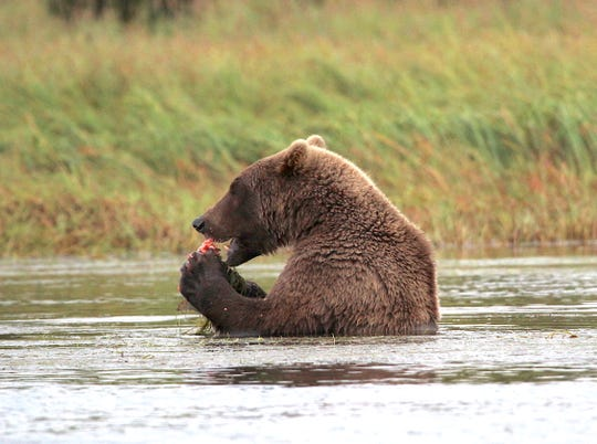A brown bear eats a salmon in the Alagnak River in Alaska.