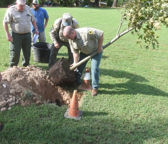 Arkansas Forestry Commission employees roll a 5-year-old Shumard oak tree into place Friday at the North Arkansas Youth Center in Cotter.