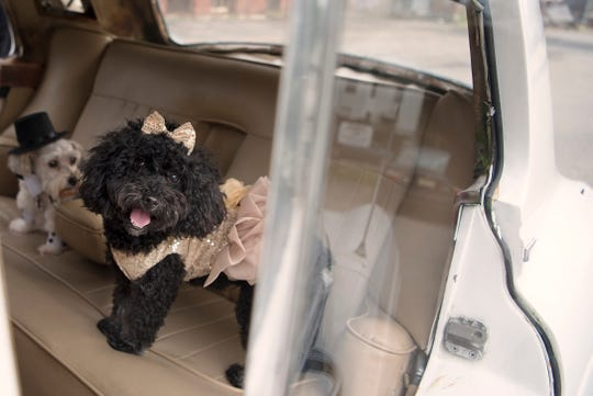 Kookie Morrison throws a birthday party for Innocent, her Yorkie-Bishon Mix dog at Splish Splash Dog Daycare in Englewood on Friday September 21, 2018. Innocent and his date Nola are dressed up inside a Rolls-Royce.