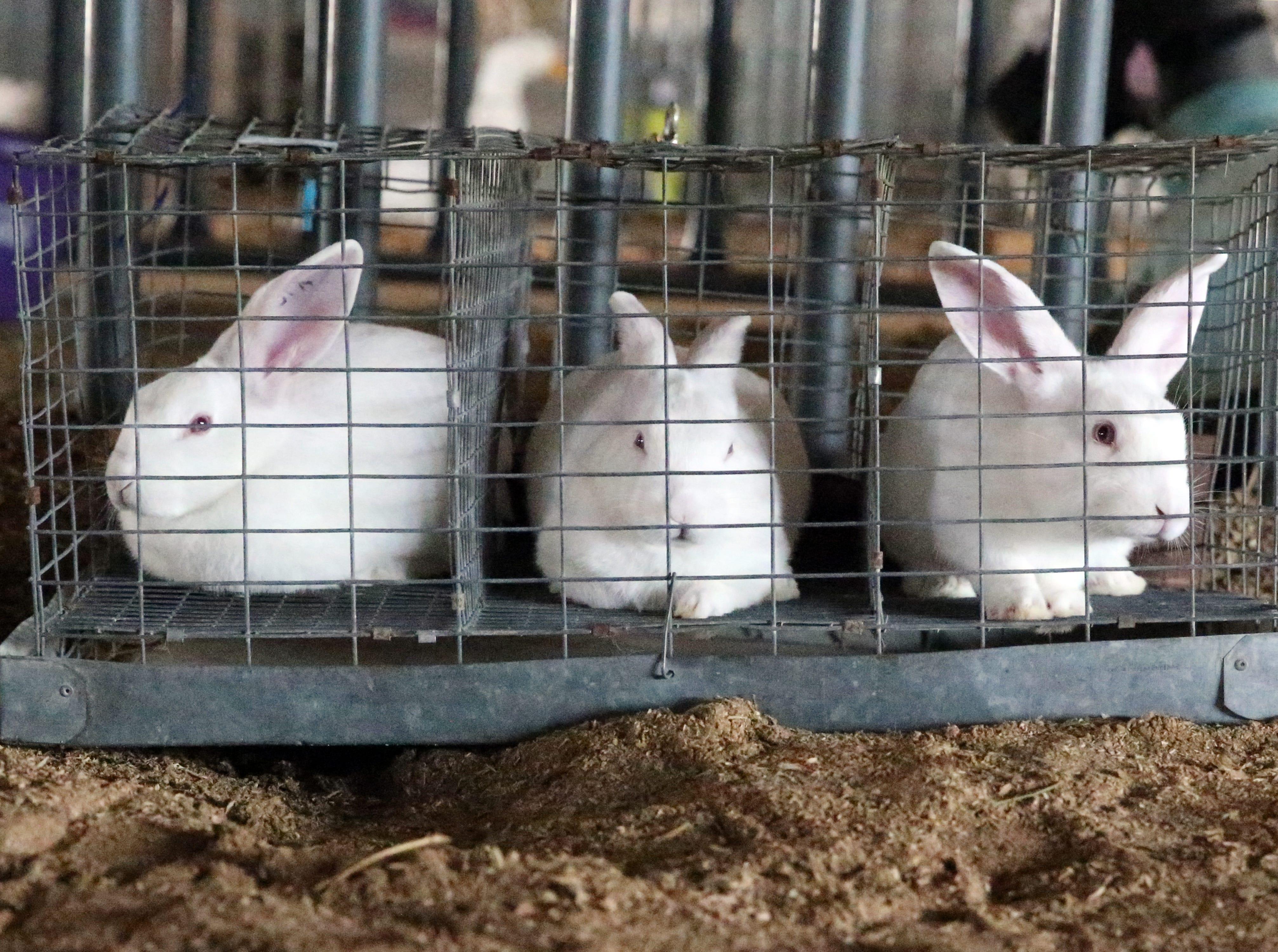 Rabbits await auction Saturday.