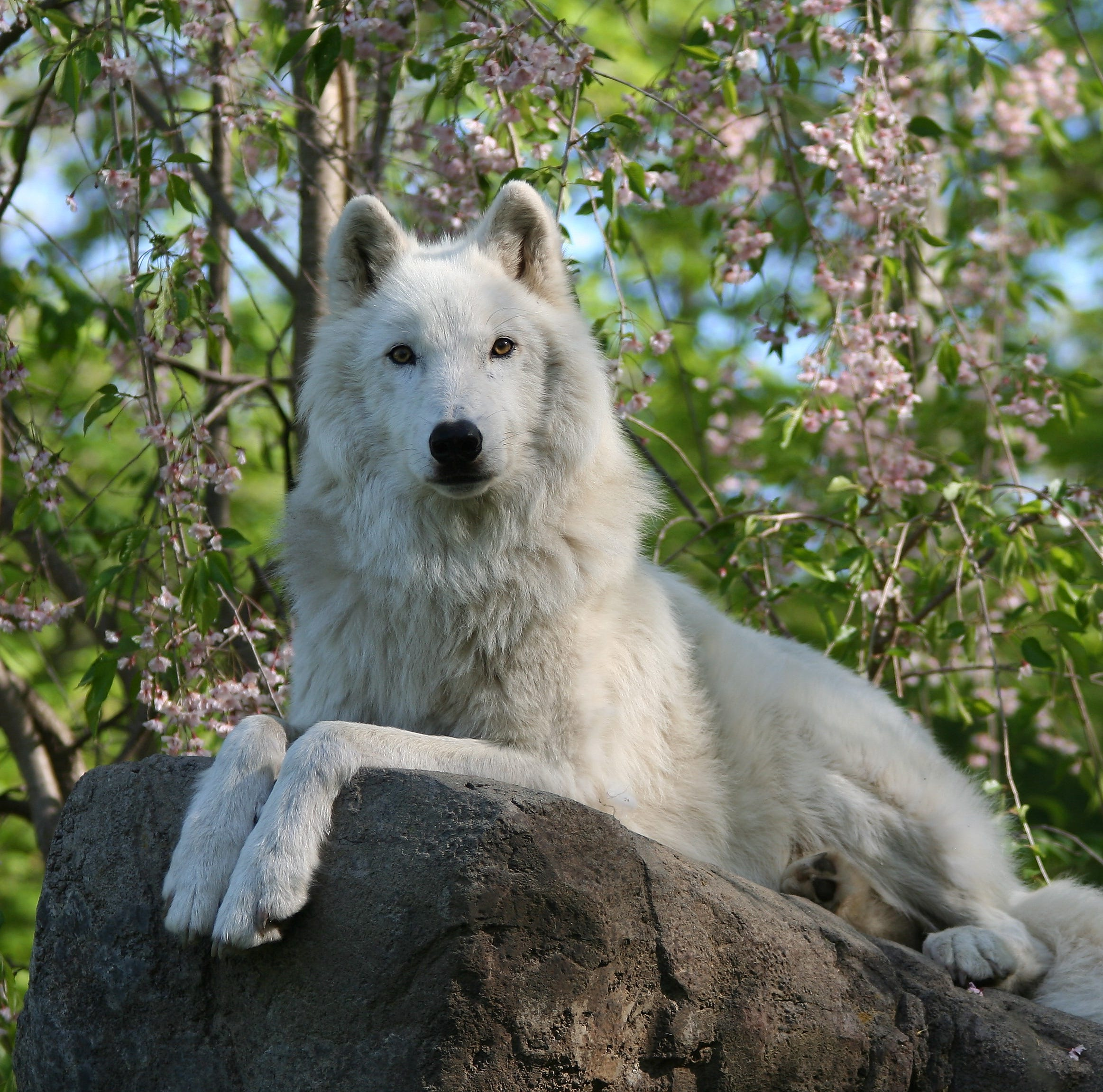 Atka: Famous Arctic wolf in South Salem's wolf conservation dies