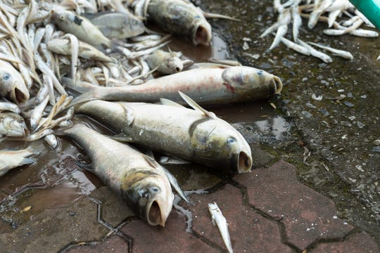 Worldwide, fish kills and deadly algae have become increasingly common, due to industrial agriculture and population growth.