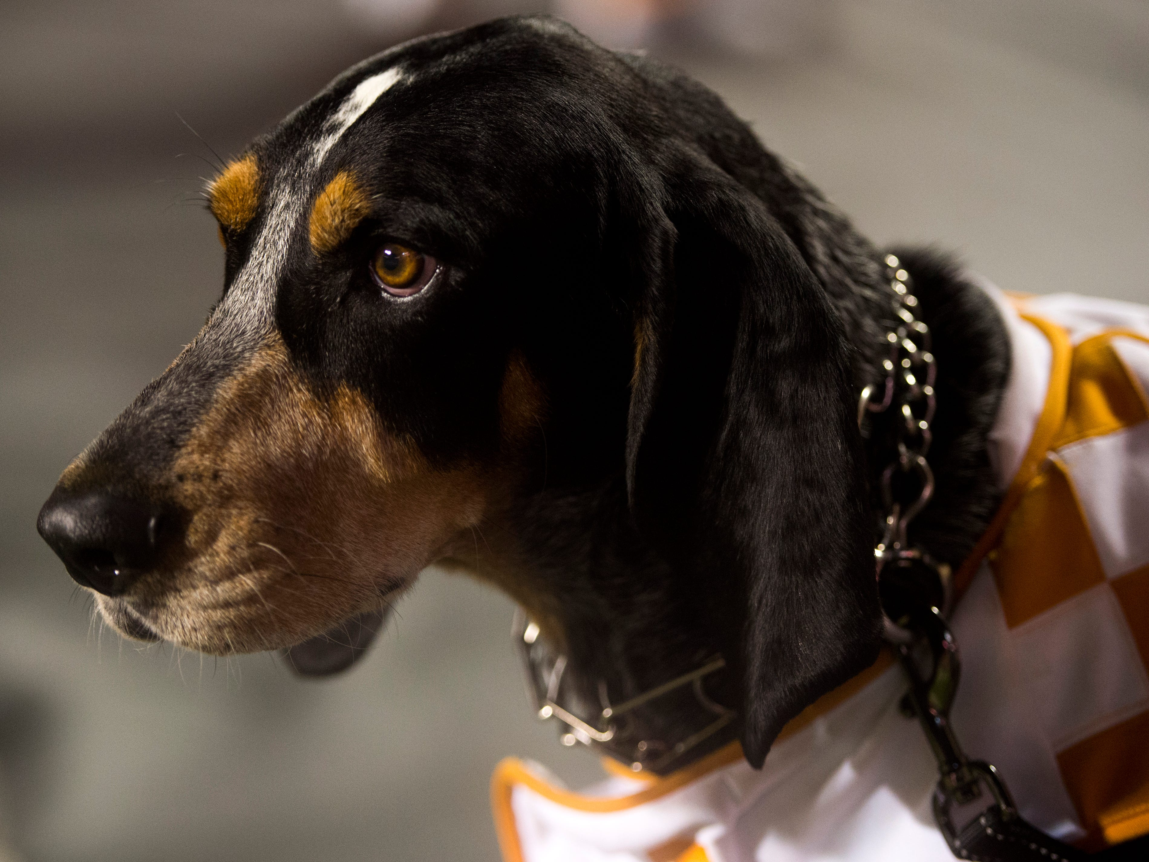 Smokey during the Tennessee Volunteers' game against Florida in Neyland Stadium on Saturday, Sept. 22, 2018.