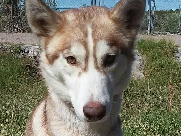 Roxanne - Female (spayed) husky mix, 2 years old. Intake date: 9/12/2018