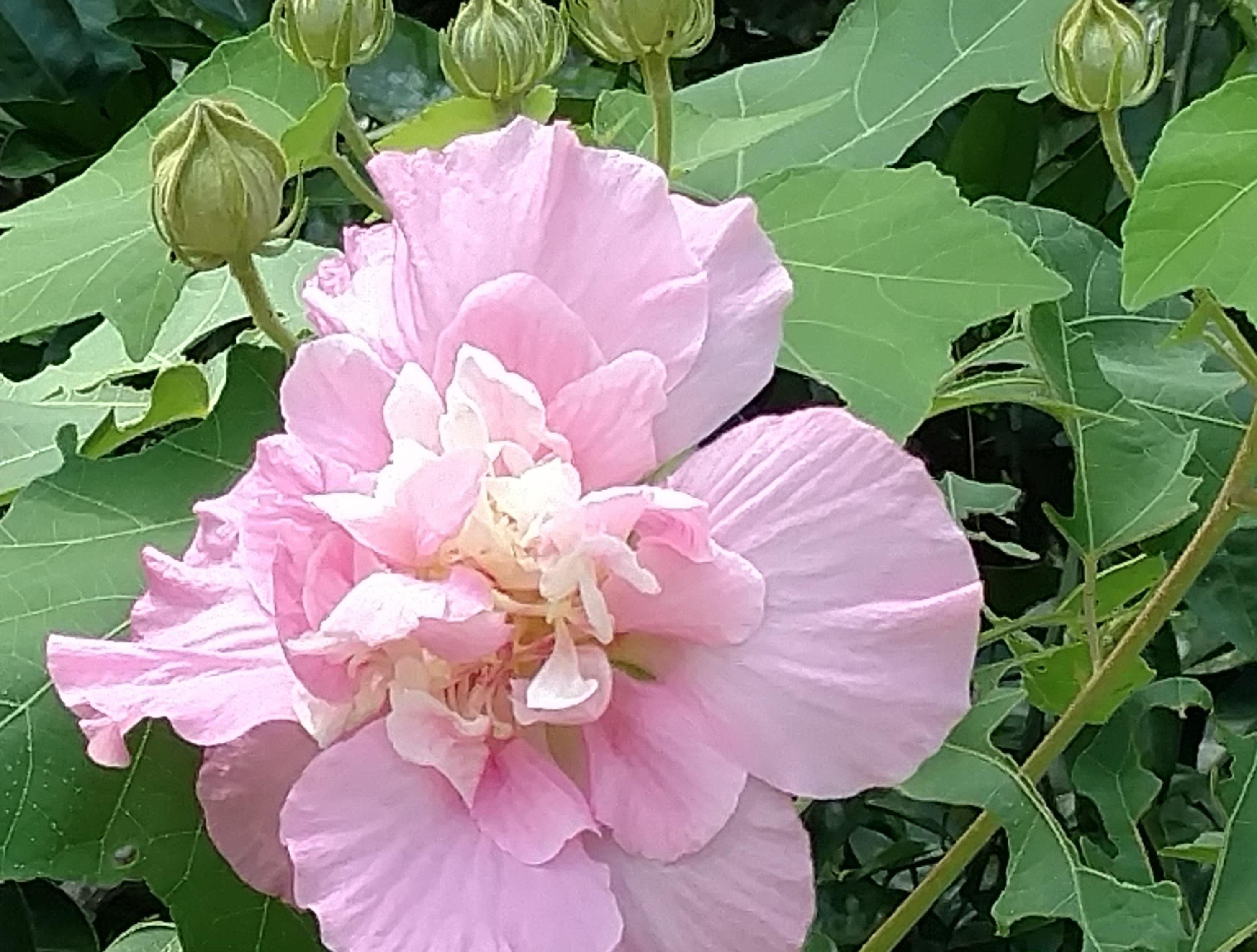 Morning Confederate Rose bloom: The Confederate Rose bloom opens a pale pink color and then darkens throughout the day to almost red when it closes.