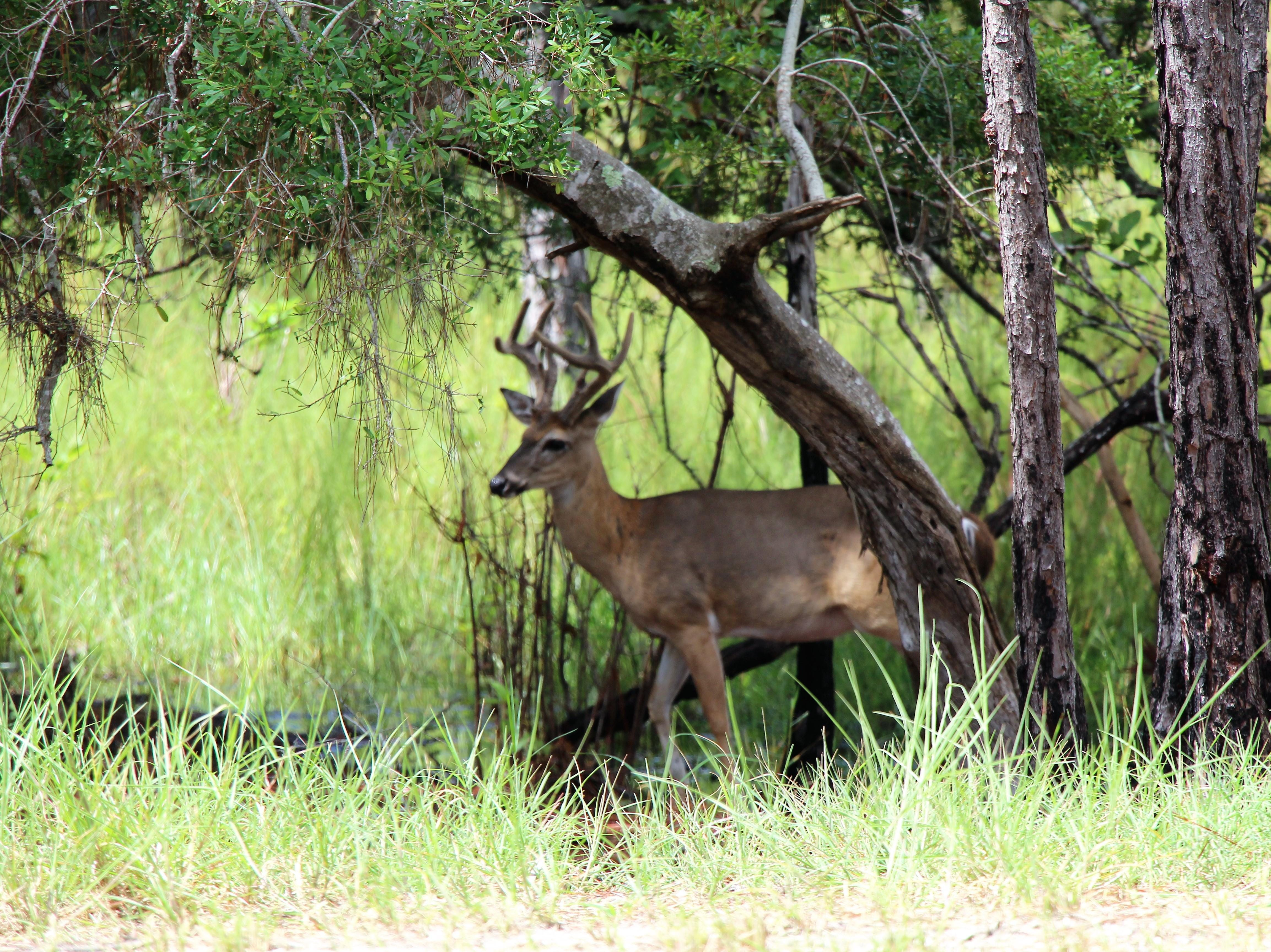 Buck at St Andrews State Park