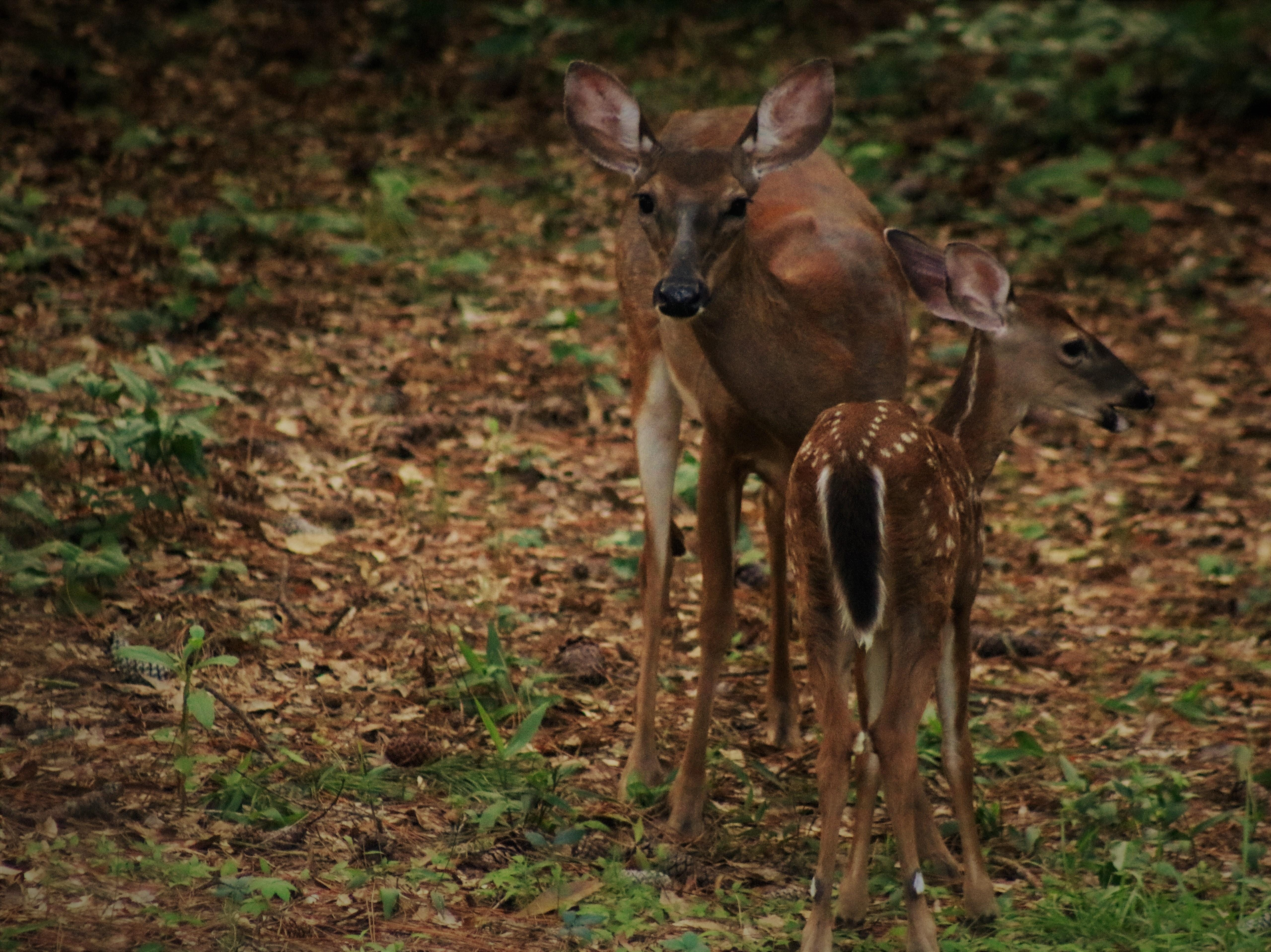 Every day for the past few weeks we have had a mama deer and her baby visit our backyard.  They have been here so much they don't even run when I come out to photograph them.