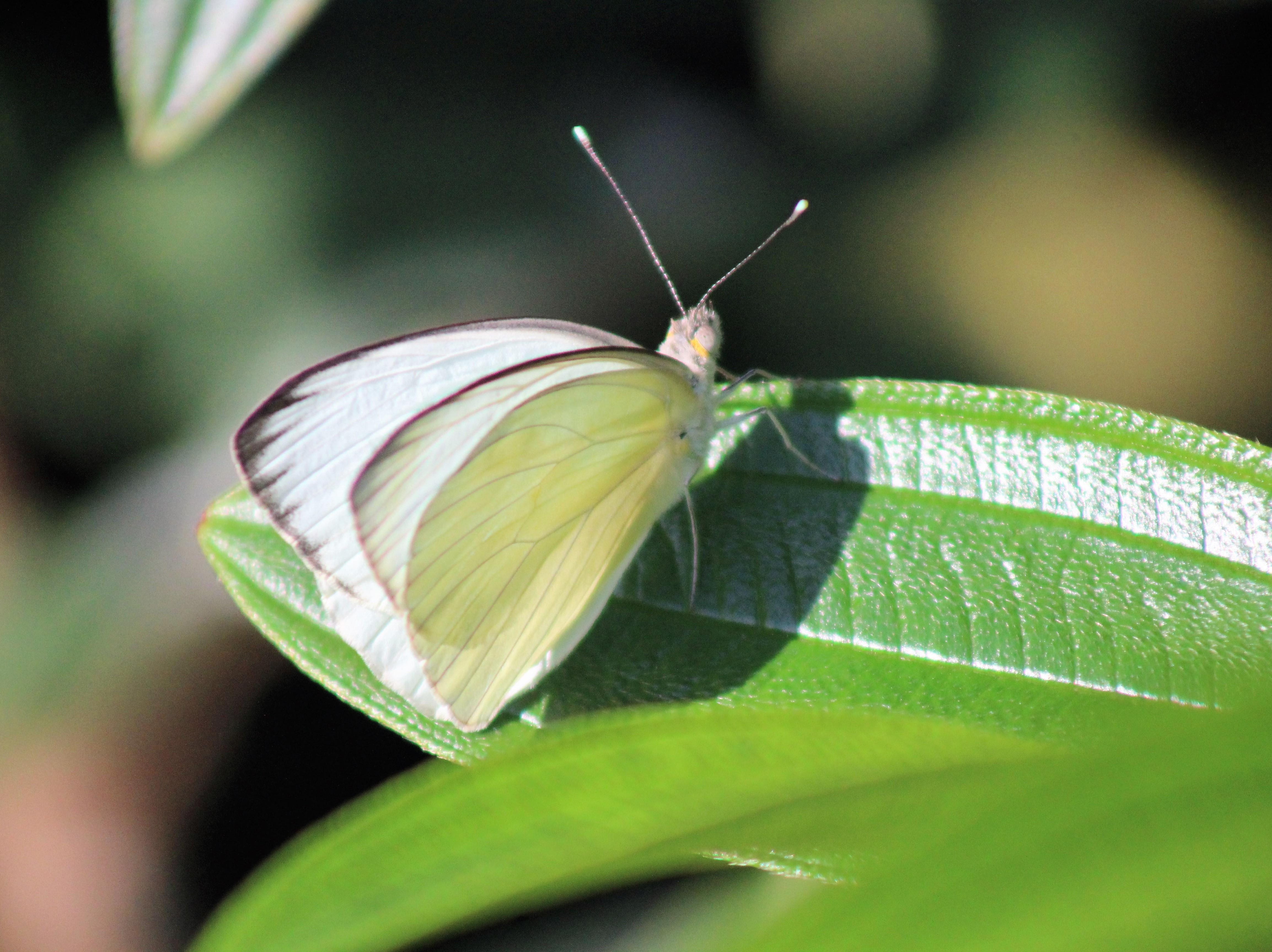 Butterfly on a leaf...love to see them.