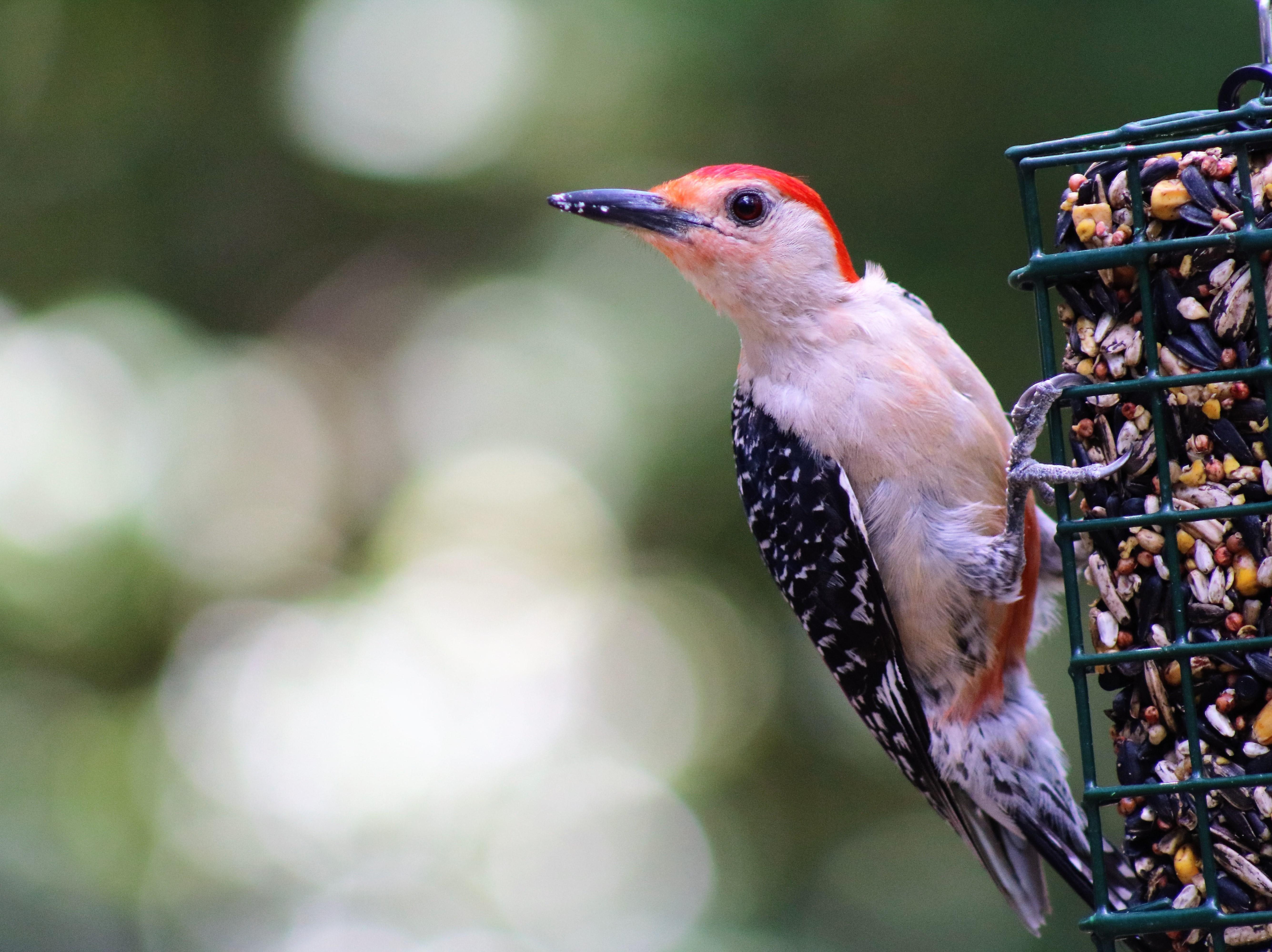 Woodpecker: Red Bellied Woodpecker enjoying the bird feeder in our back yard.