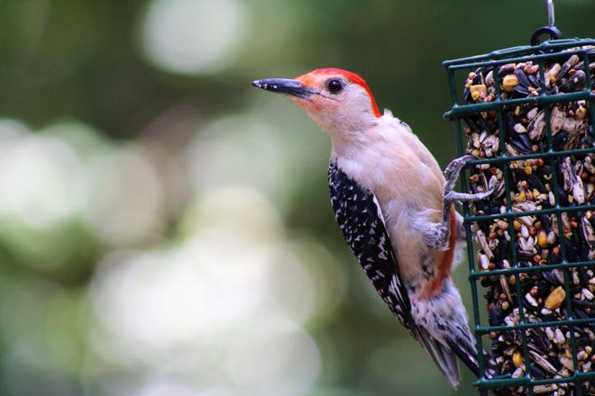 Woodpecker: Red Bellied Woodpecker enjoying the bird feeder in our back yard.