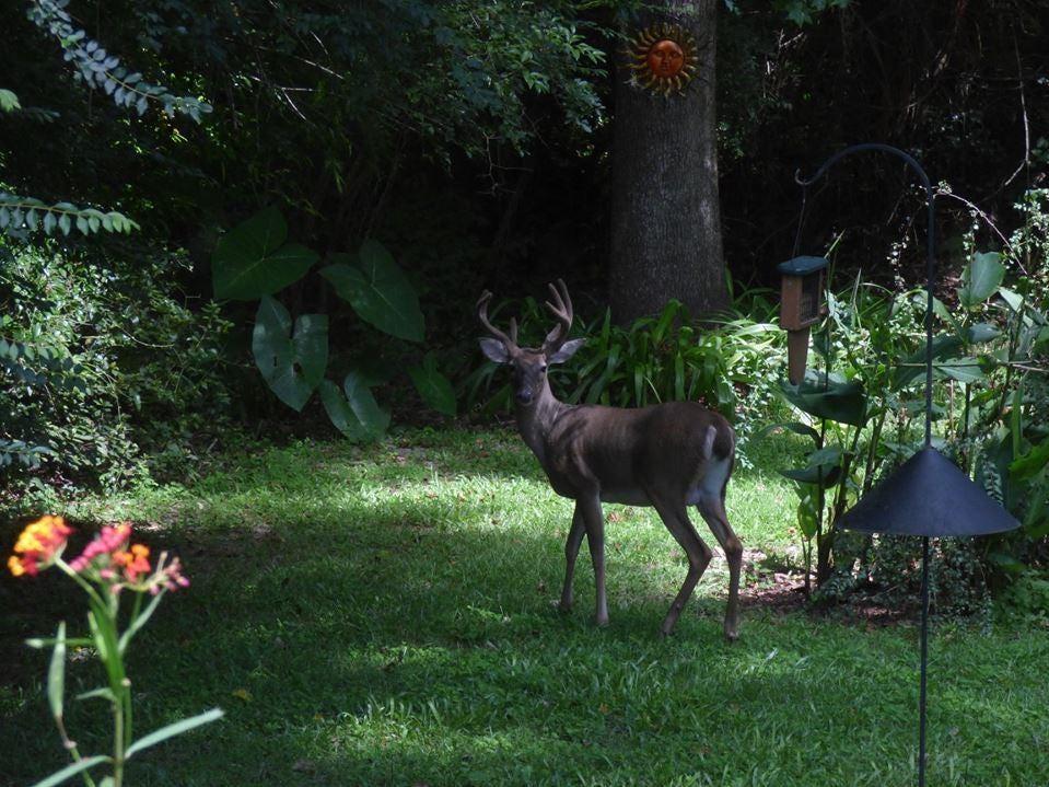 Backyard deer: Beautiful buck in velvet