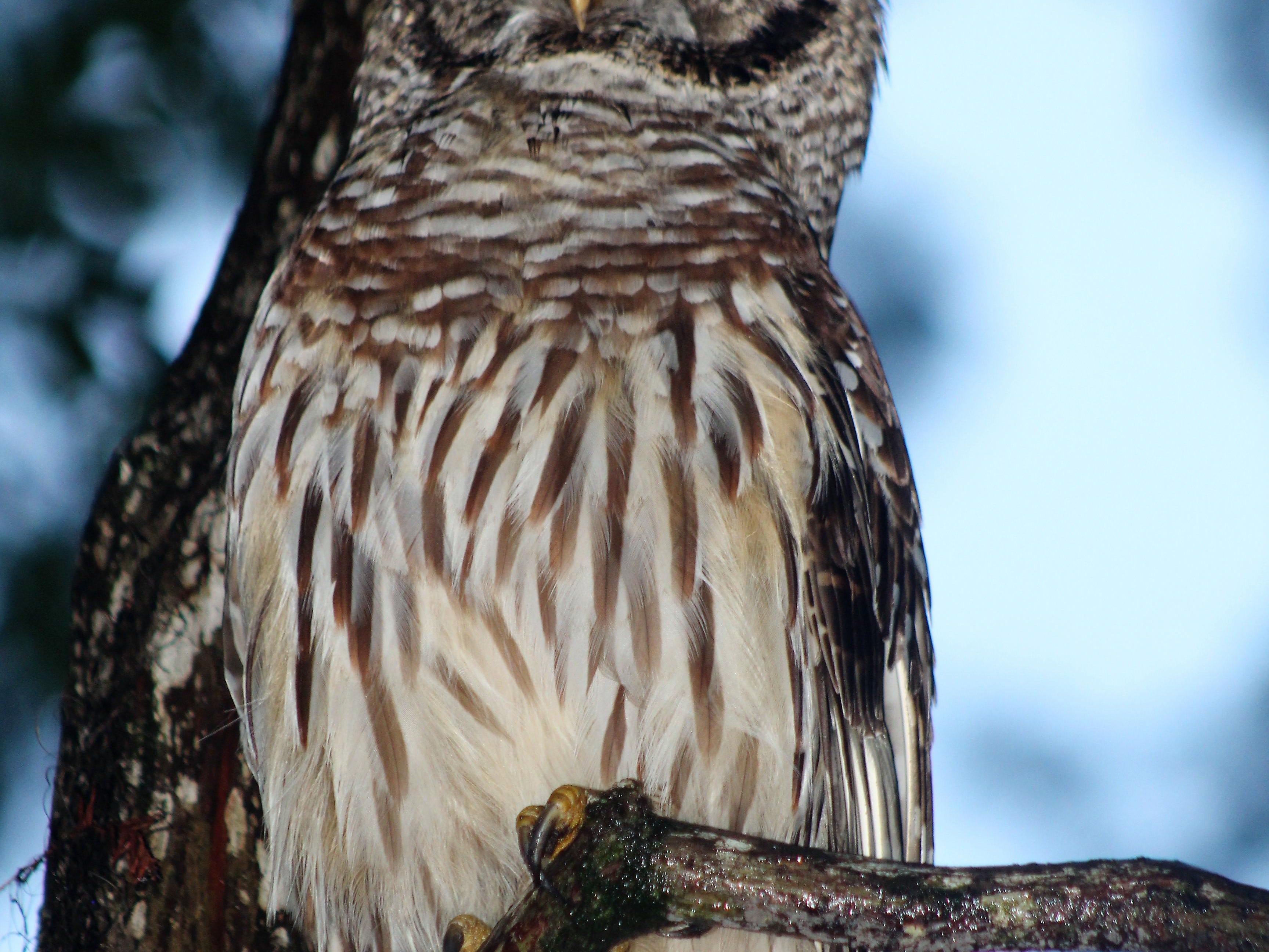 Whoooo: Local owl visiting Killearn Area