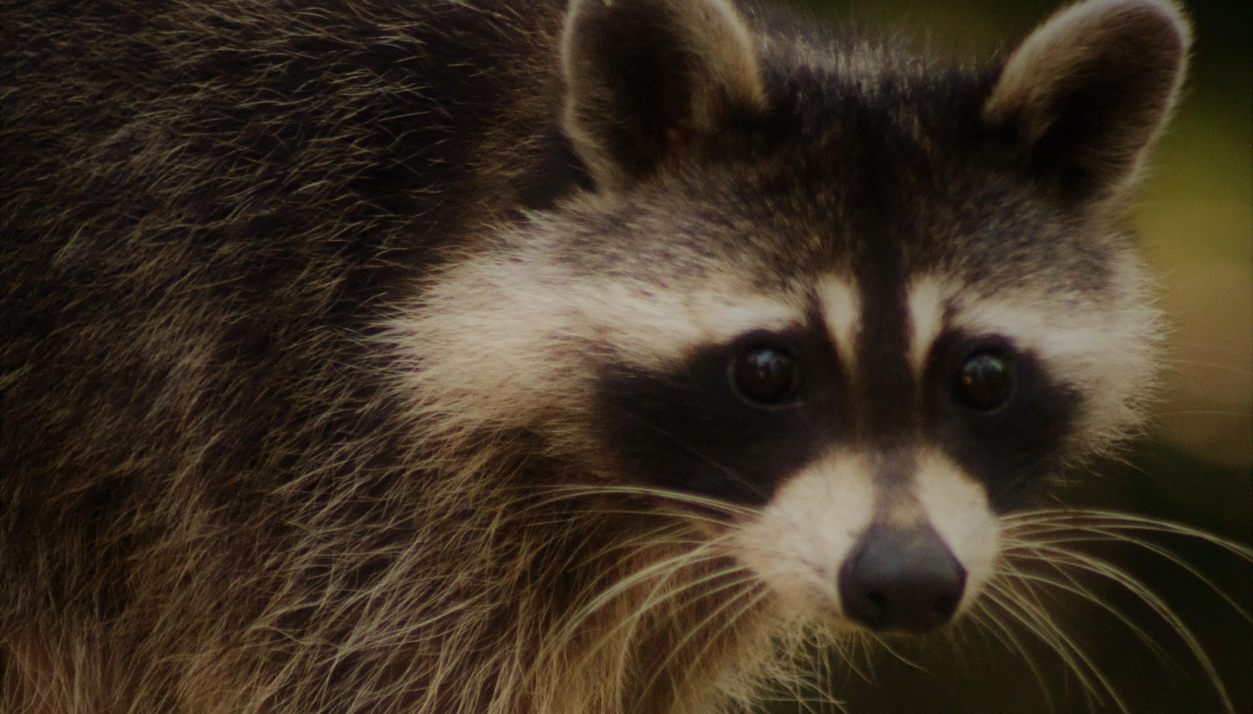 Rabies alert issued for southwest Leon County after two rabid raccoons test positive