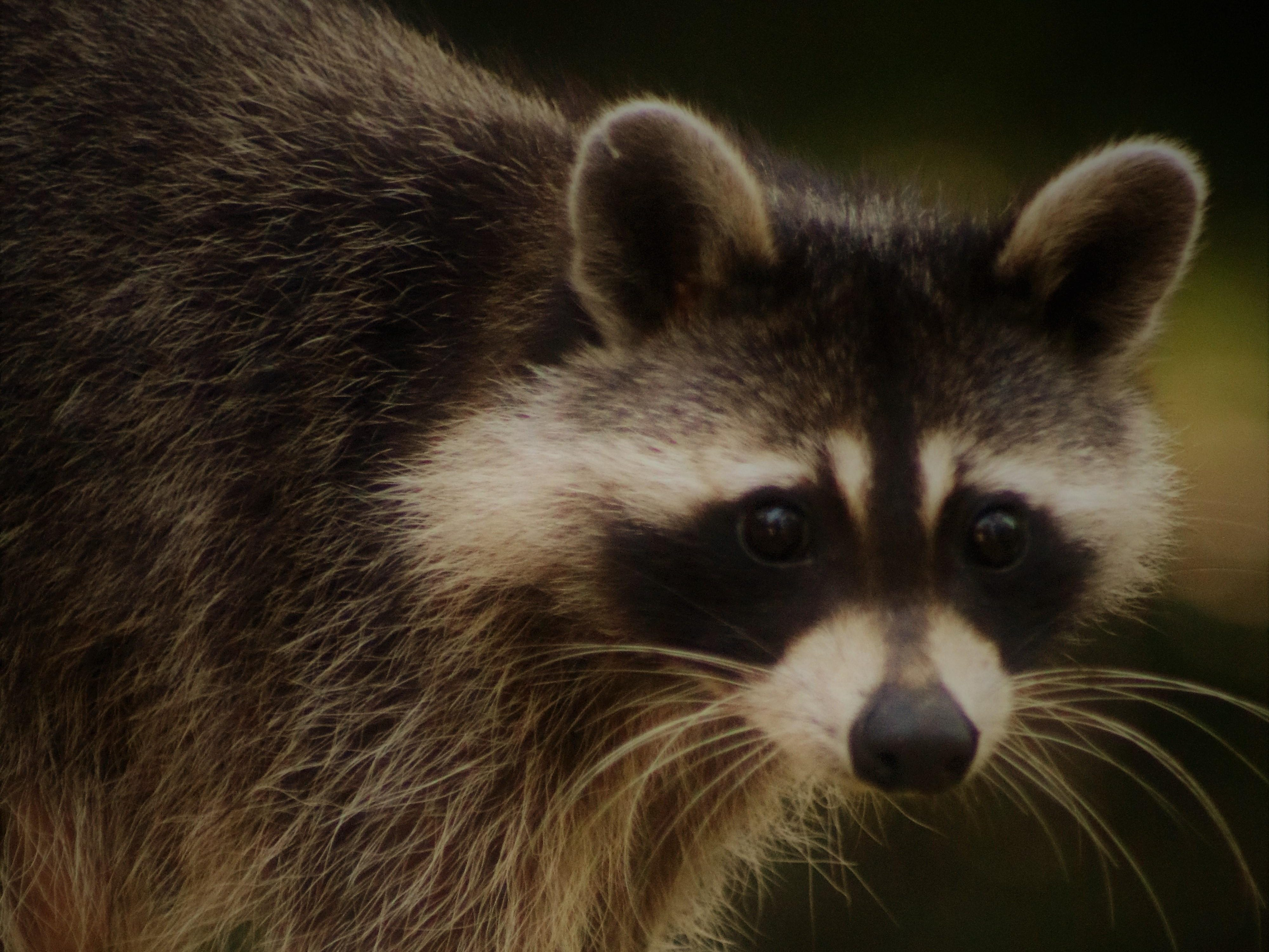 An unwanted visitor: This Raccoon is showing up a lot on our porch....came a bit early this day.
