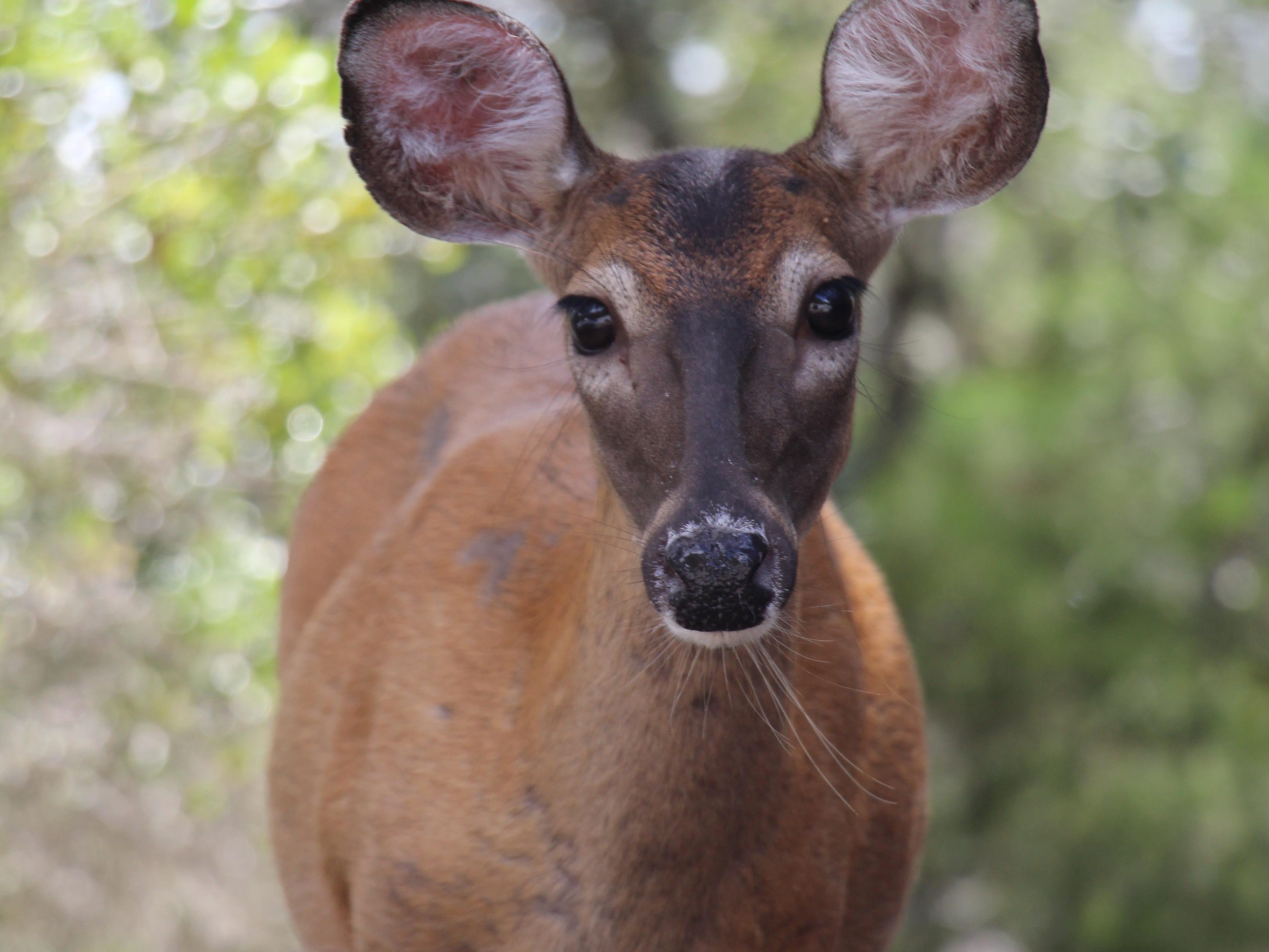 Young Doe at St Andrews State Park