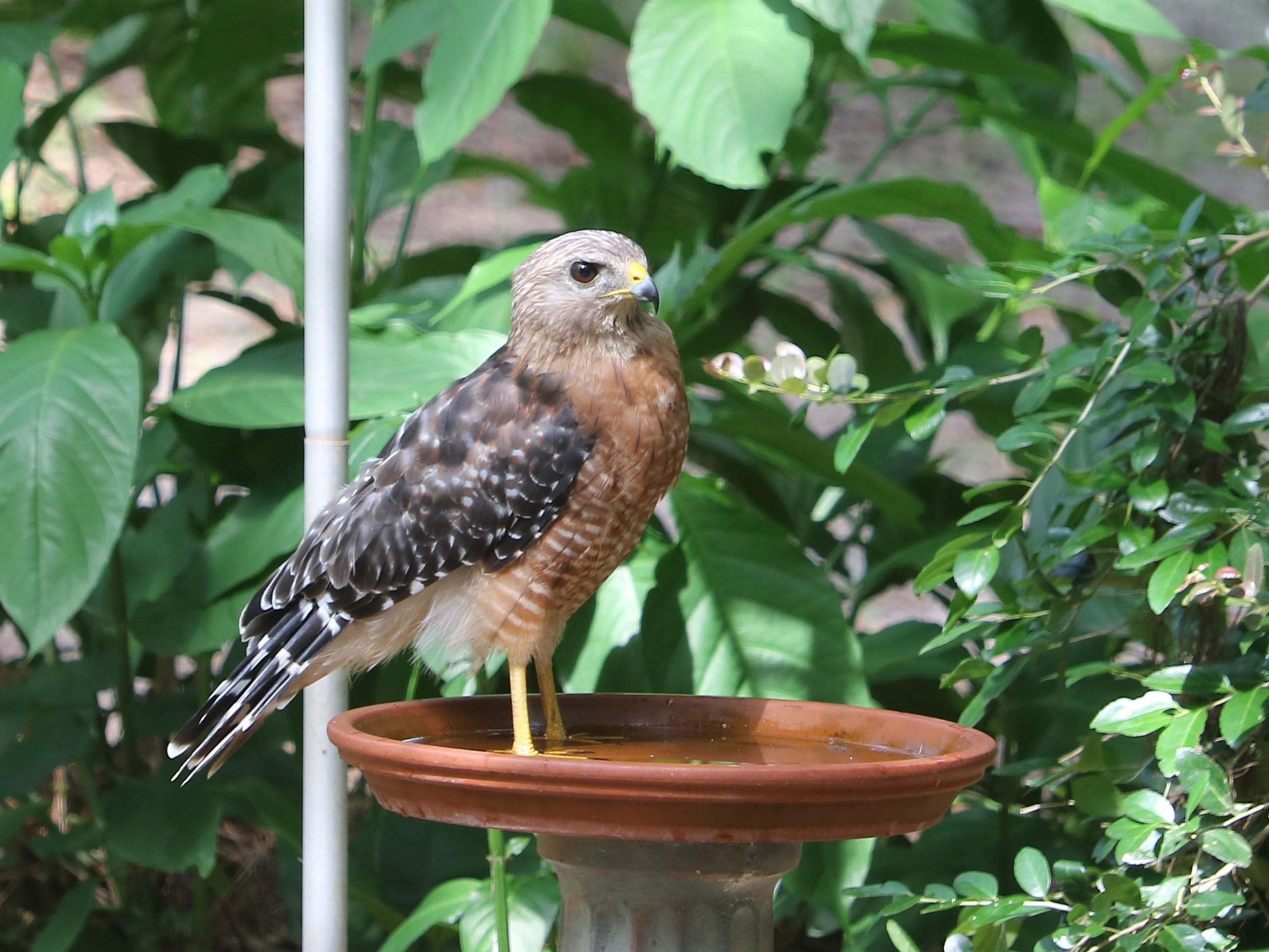 Getting your feet wet: Red-shouldered hawk standing in a birdbath