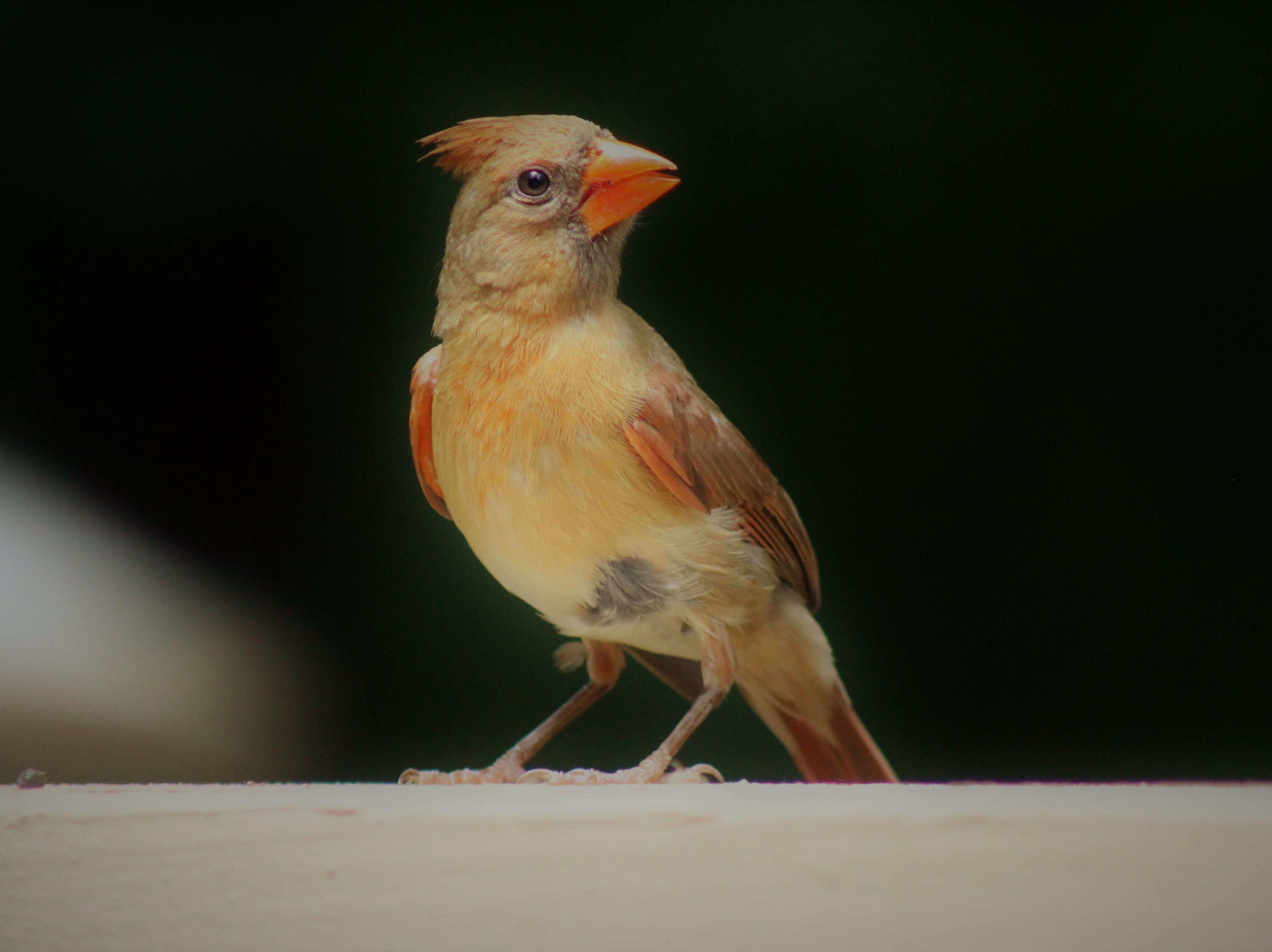 Backyard visitor: Female cardinal enjoying our porch