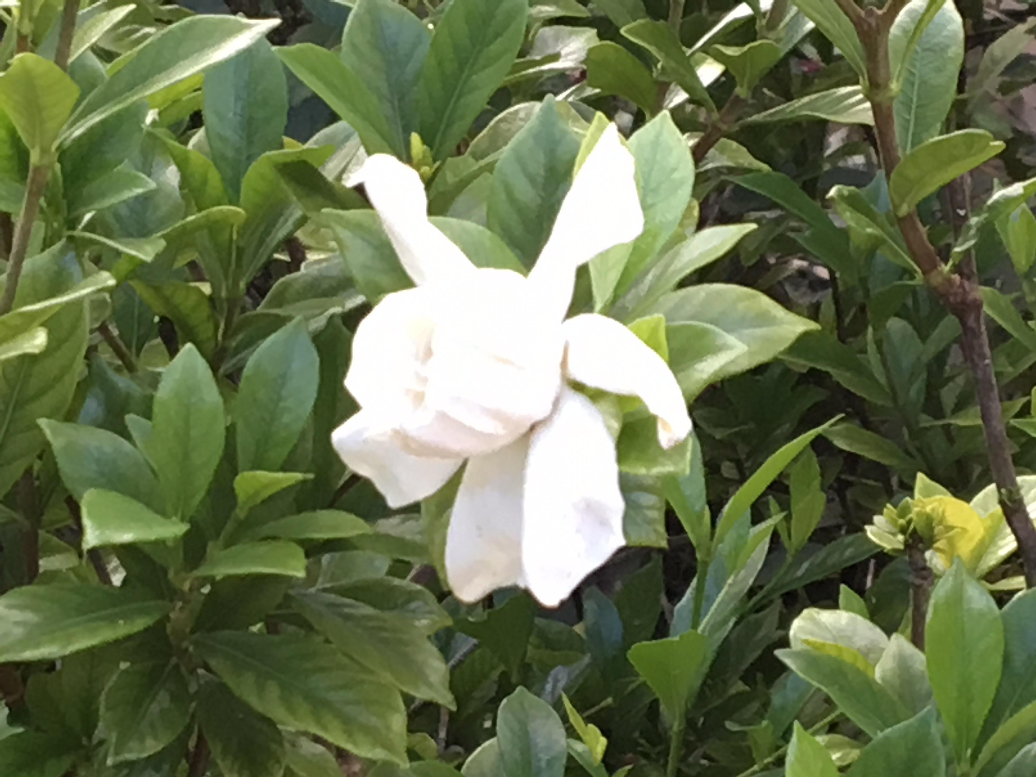Gardenia blooming: Something must be right about our climate. I have had gardenias blooming all through summer and into September.