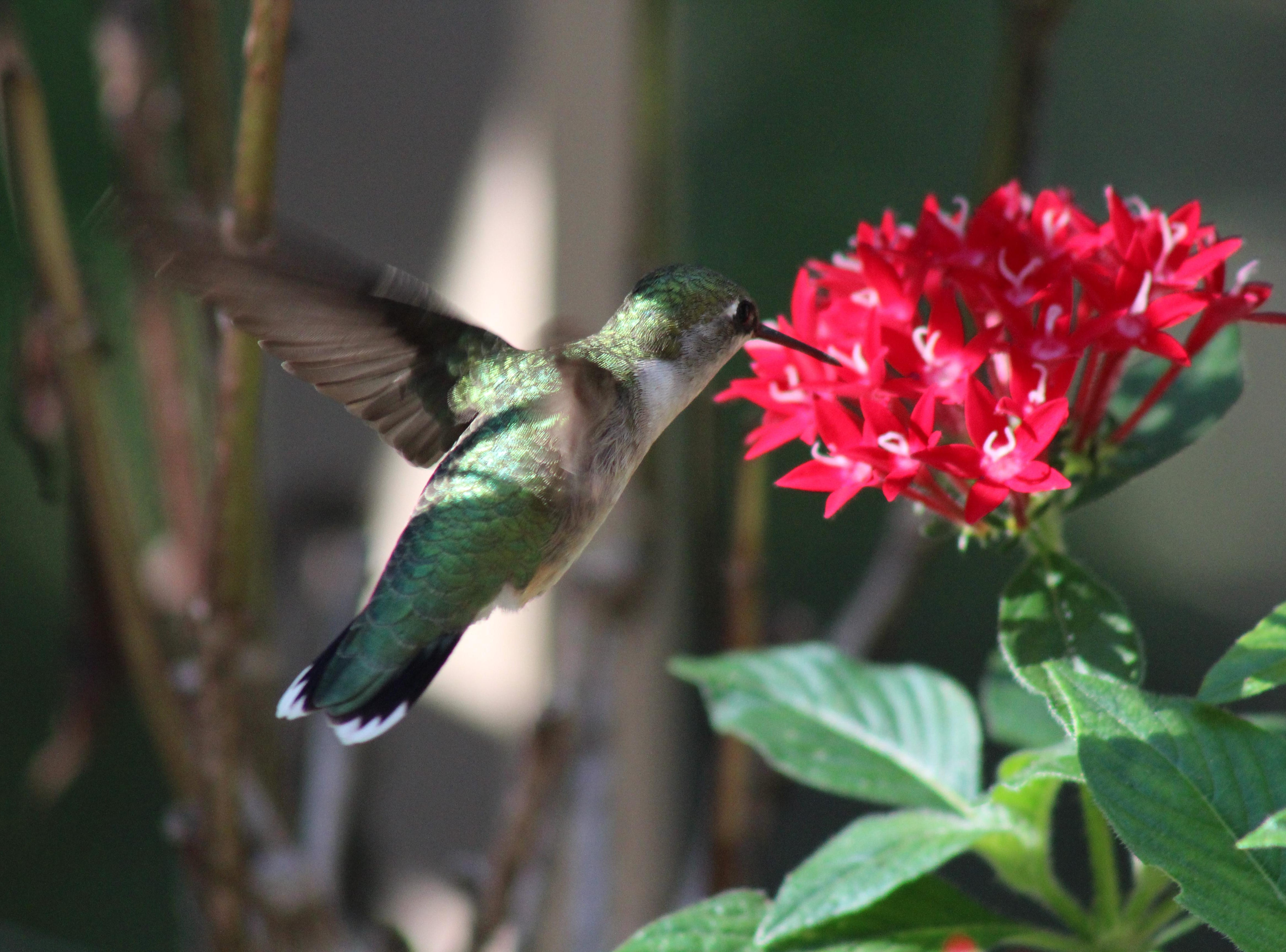 Hummingbird season and they are all around.