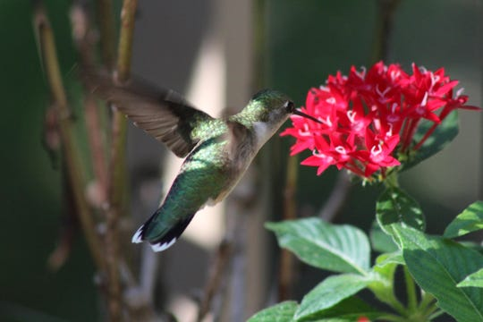 Hummingbird season and they are all around.
