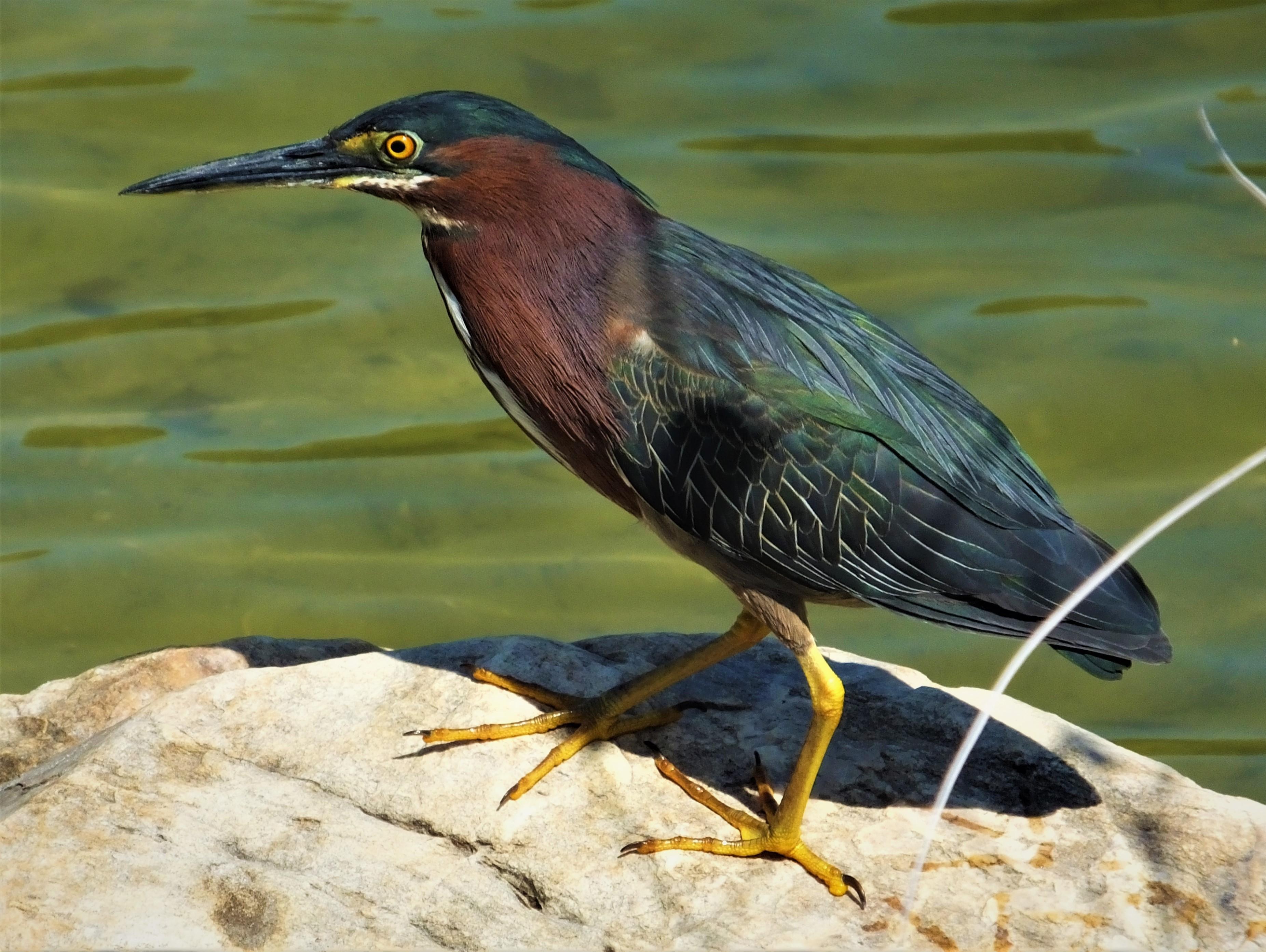"""Green heron at Lake Ella: """"I hope that's a camera he's using."""""""