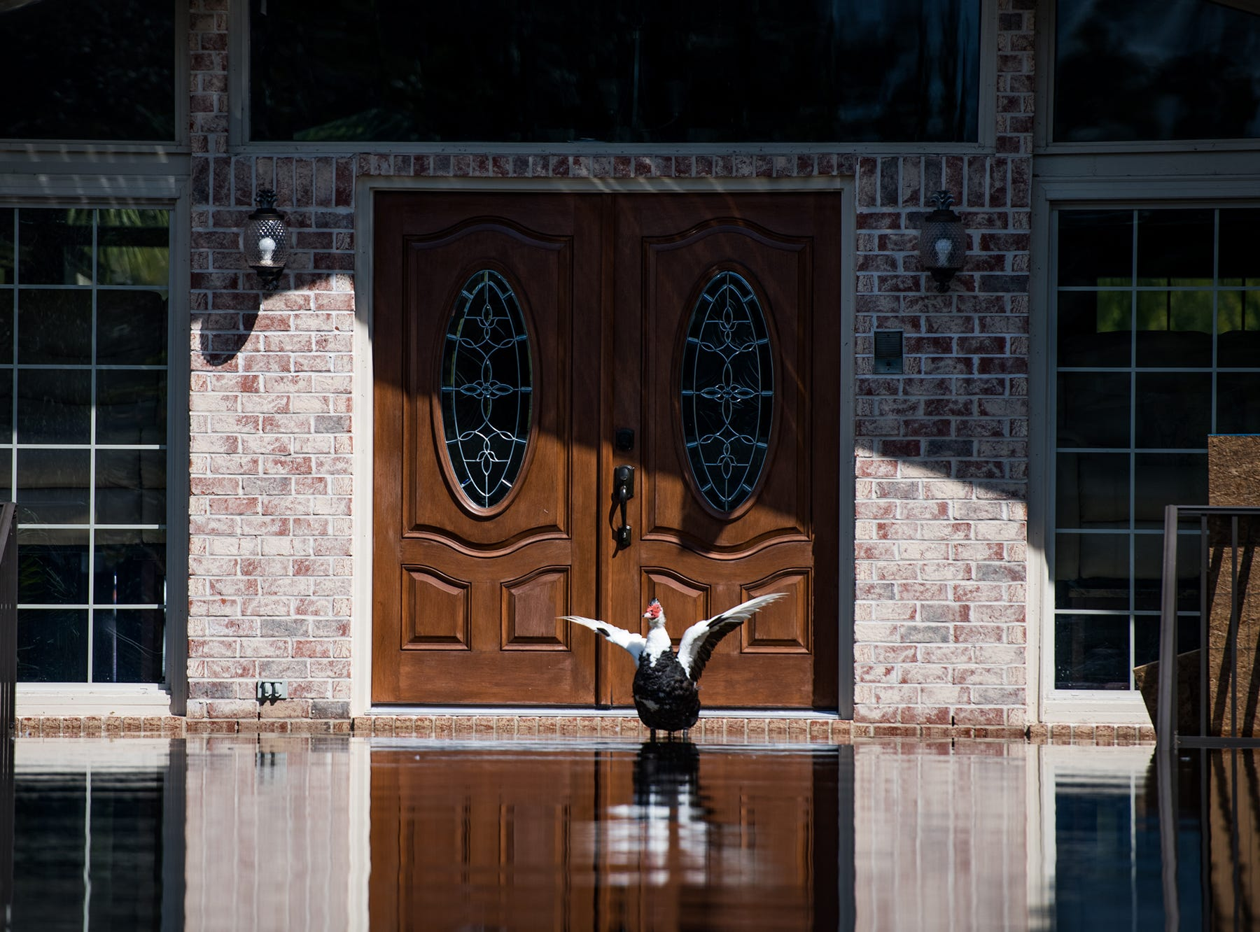 A duck flaps its wings in front of a home inundated with floodwaters caused by Hurricane Florence near the Waccamaw River on Sept. 23, 2018 in Conway, S.C.
