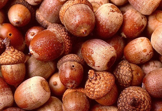 Red oak acorns.