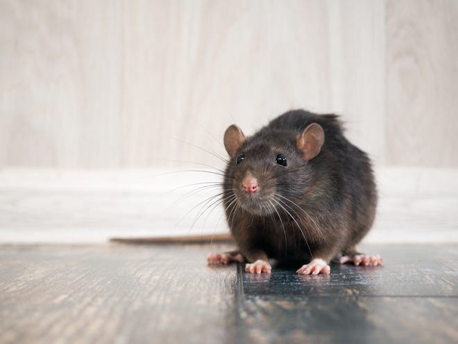 Indianapolis is the 16th-rattiest city in the U.S., according to Orkin.