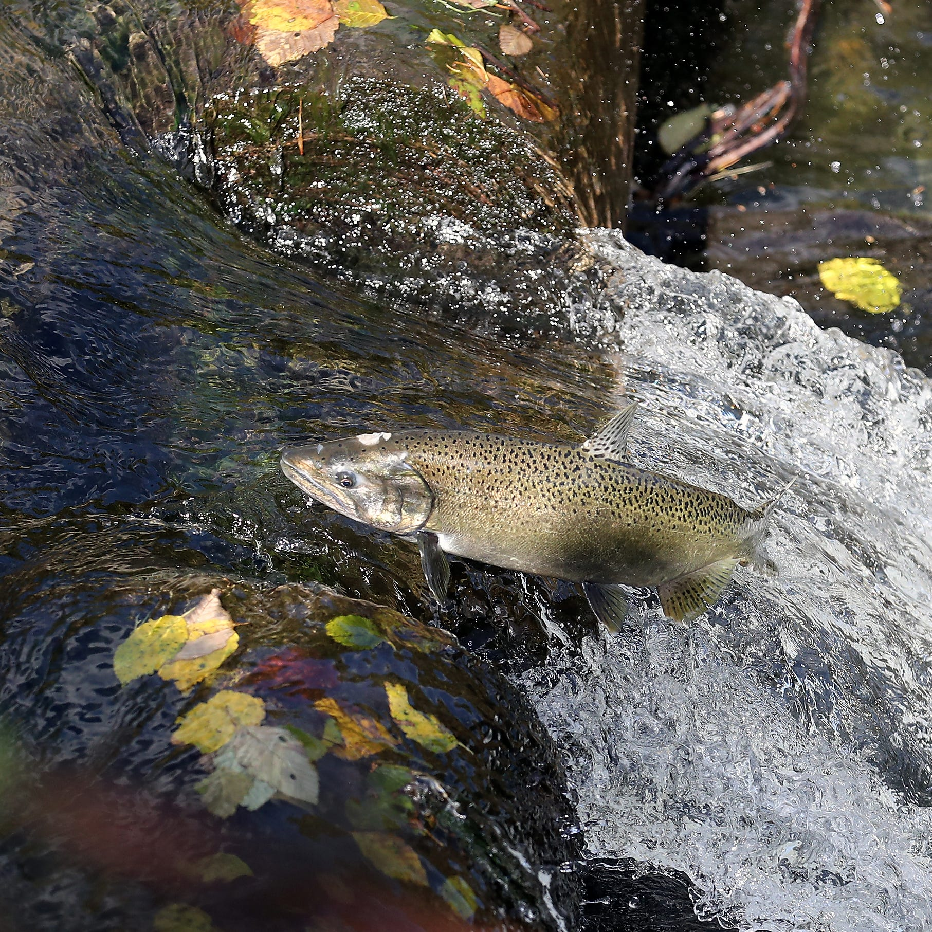 Salmon given assist to get over problematic Gorst weir