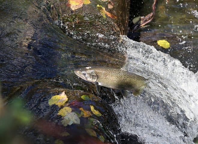 A female chinook succeeds in jumping over the weir behind the Gorst Creek Hatchery on Monday. Volunteers spent Monday afternoon sandbagging parts of the creek to get the water level high enough to allow salmon to clear it and spawn upstream.