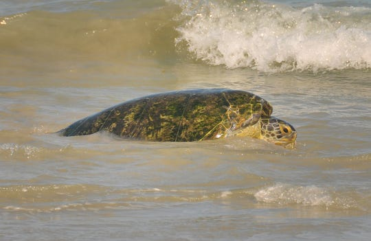 Guacamole, a 285-pound green sea turtle, returned to the ocean at Lori Wilson Park at Cocoa Beach.