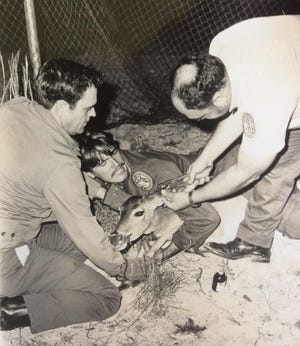 "In this 1979 photo, a crew of state wildlife officials capture a whitetail deer on the Cape Canaveral Air Force Station. For seven winters the crews trapped hundreds of deer and shipped them to other parts of the state as so-called ""penalty"" deer with the costs paid by convicted poachers. The nighttime trapping program in enclosed food plots helped reduce an overpopulation of the deer herd on the Cape area."