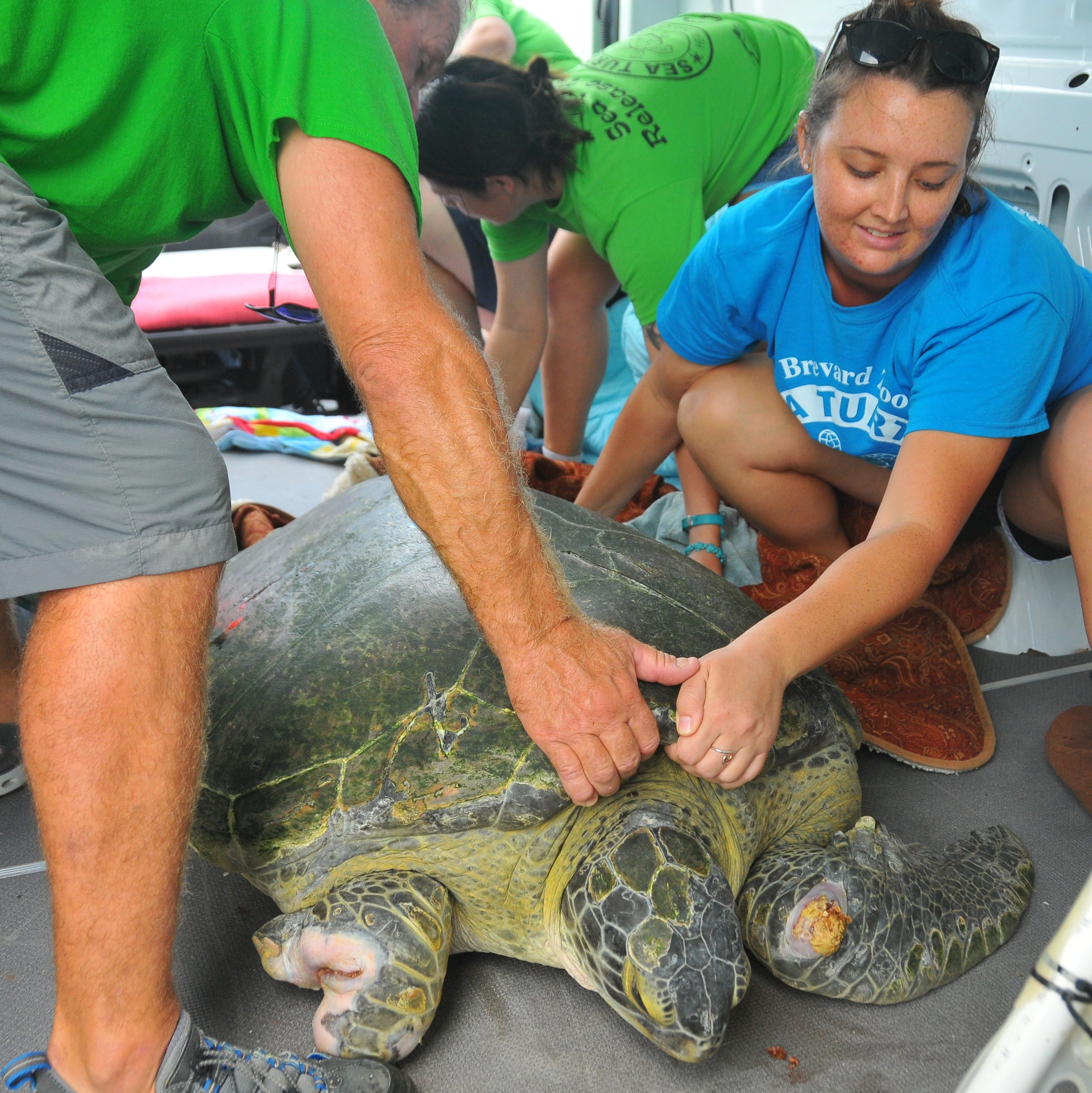Guacamole, a sea turtle shark-attack survivor, released back to sea in Cocoa Beach