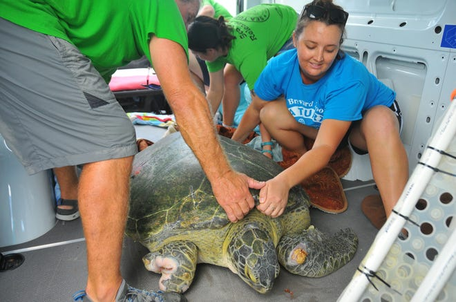 Guacamole, a 285-pound green sea turtle, arrived at Lori Wilson Park in the back of a Brevard Zoo van.