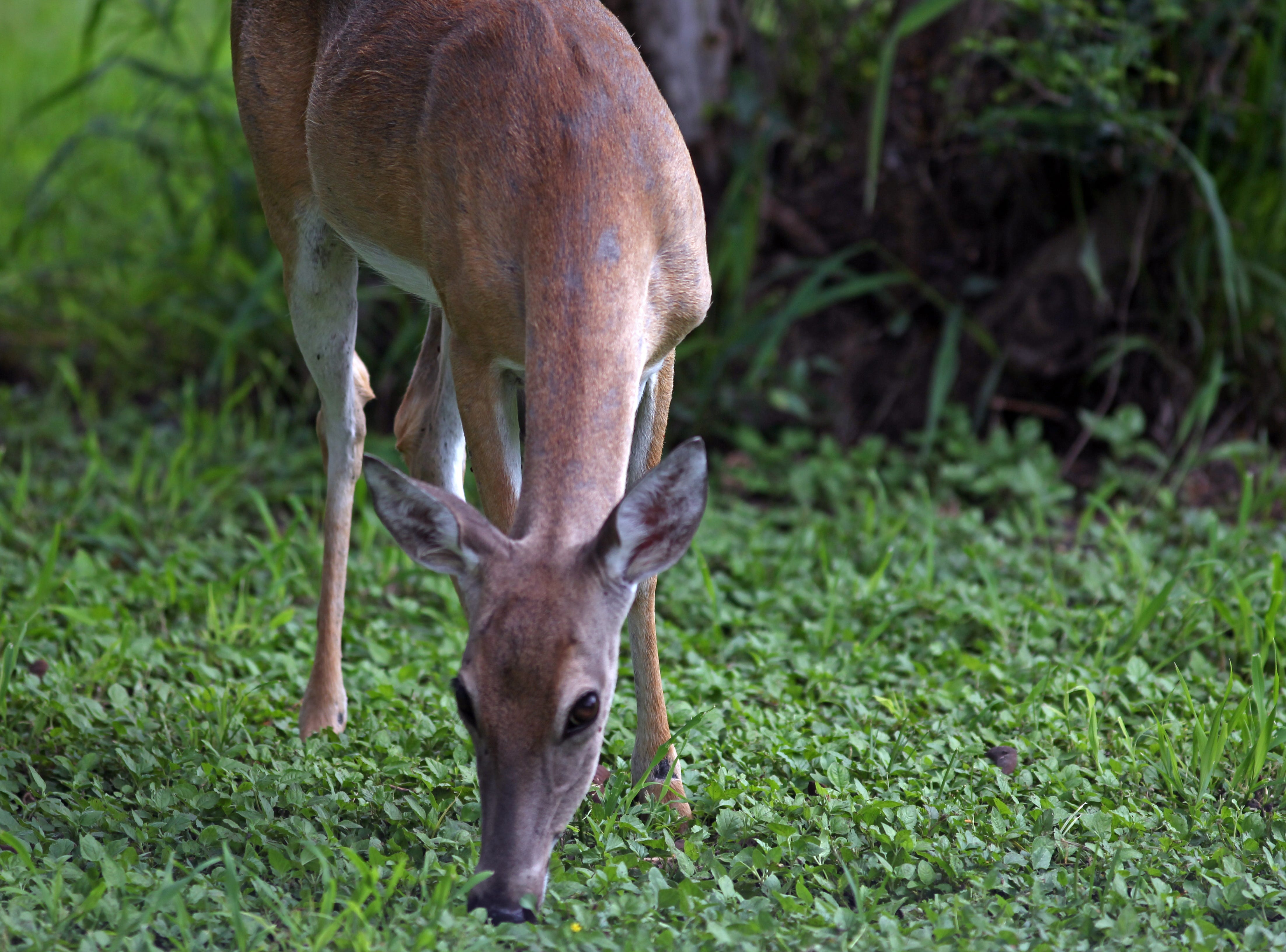 White-tailed deer are commonly spotted at Hazel Bazemore Park on the Nueces River.