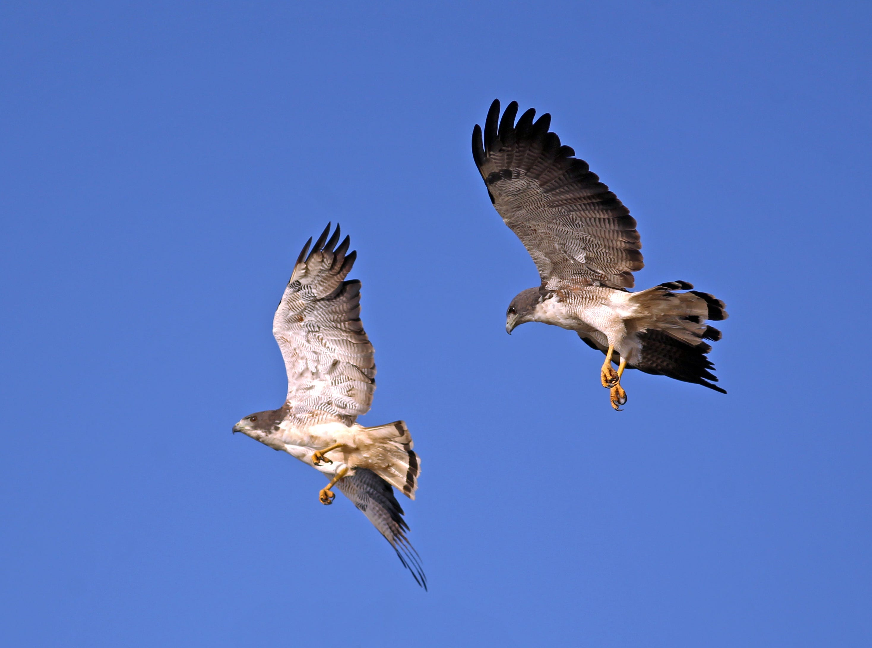 White-tailed hawks are frequently spotted in the Coastal Bend.