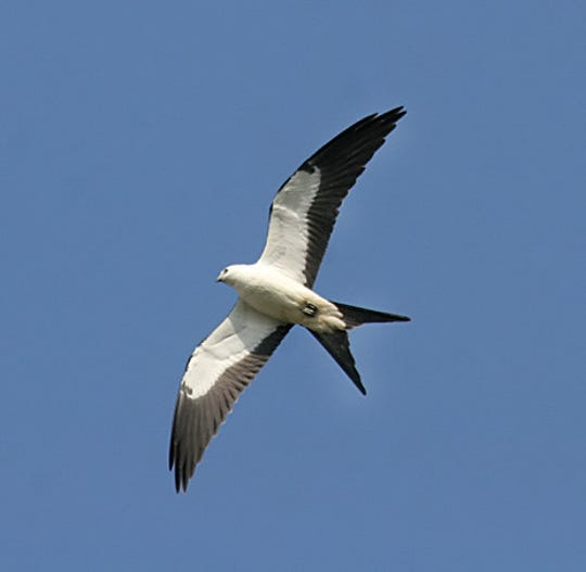 This swallow-tailed kite was spotted over Hazel Bazemore Park during a migration.