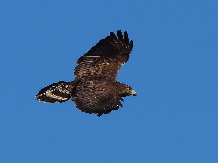 HawkWatch volunteer Linda Alley shot this photo of a broad-winged hawk during last year's migration.