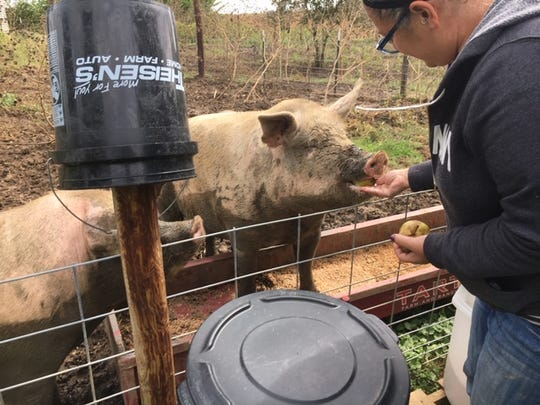 Erica Coury feeds pears to Mattie and Pumpkin, two pigs that fell off a truck in 2017 and are putting on the pounds ever since on her rural Marengo acreage.