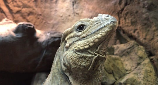 A look at Bella, a Blue Rhino Iguana at The Reptarium, which opened in Utica on Sept. 21, 2018.
