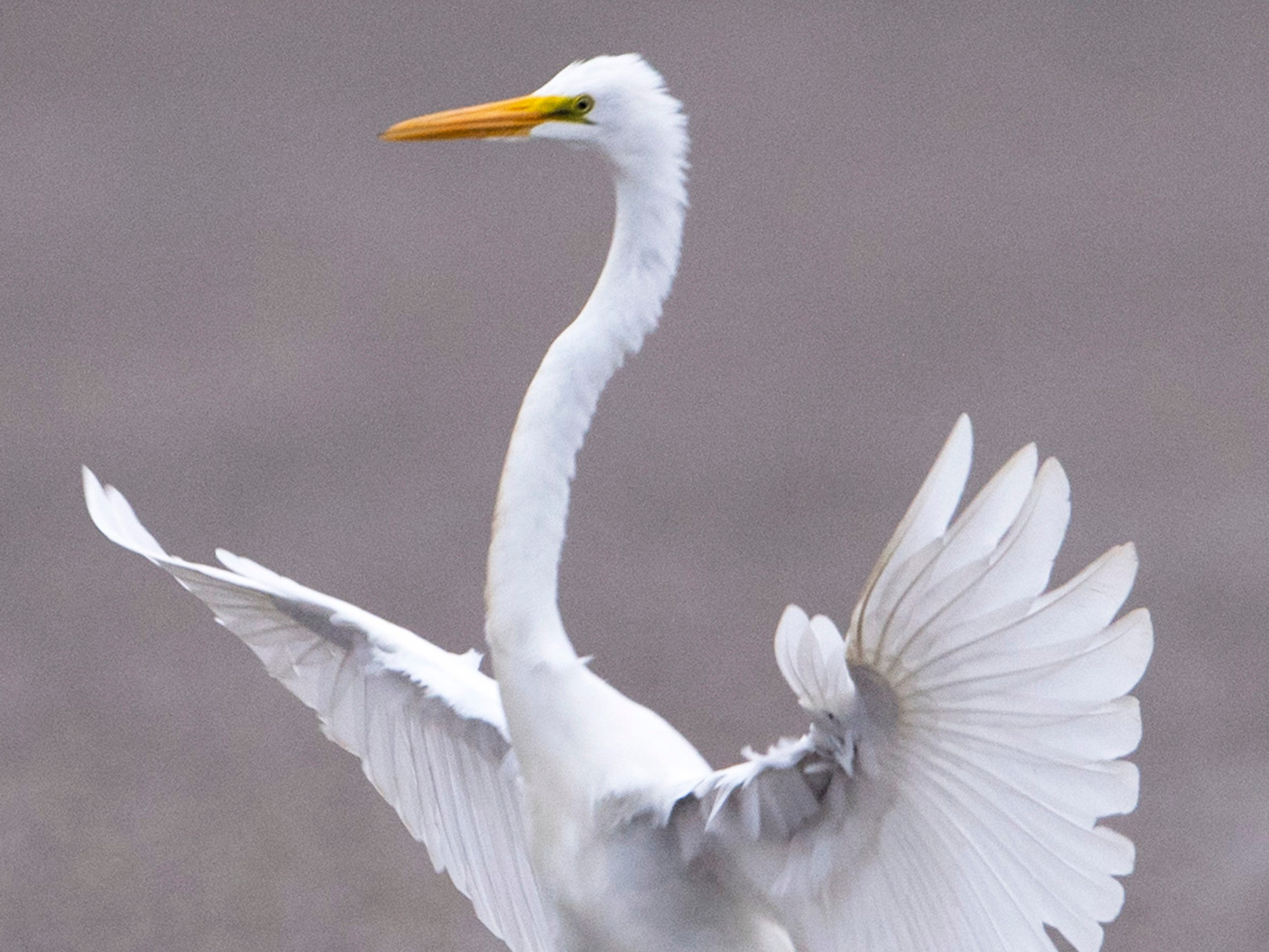 A great egret comes in for a landing in the parking lot of Vann Road Park in Warrick County after being chased away from the shoreline by a great blue heron Monday morning.