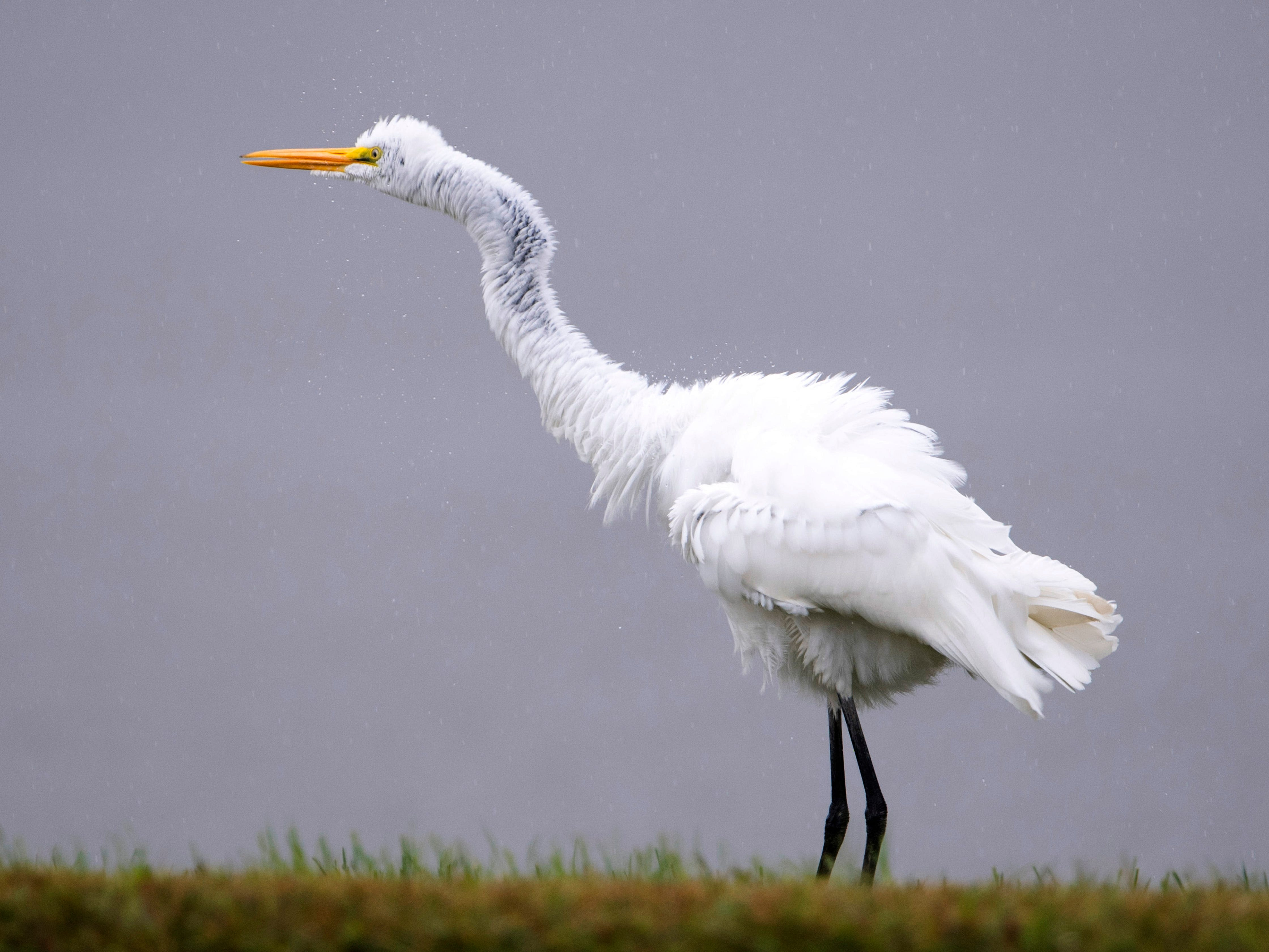A great egret shakes the rain from its plumage while creeping along the shoreline of the pond at Vann Road Park in Warrick County Monday morning. Rain is forecast throughout the day and Tuesday.