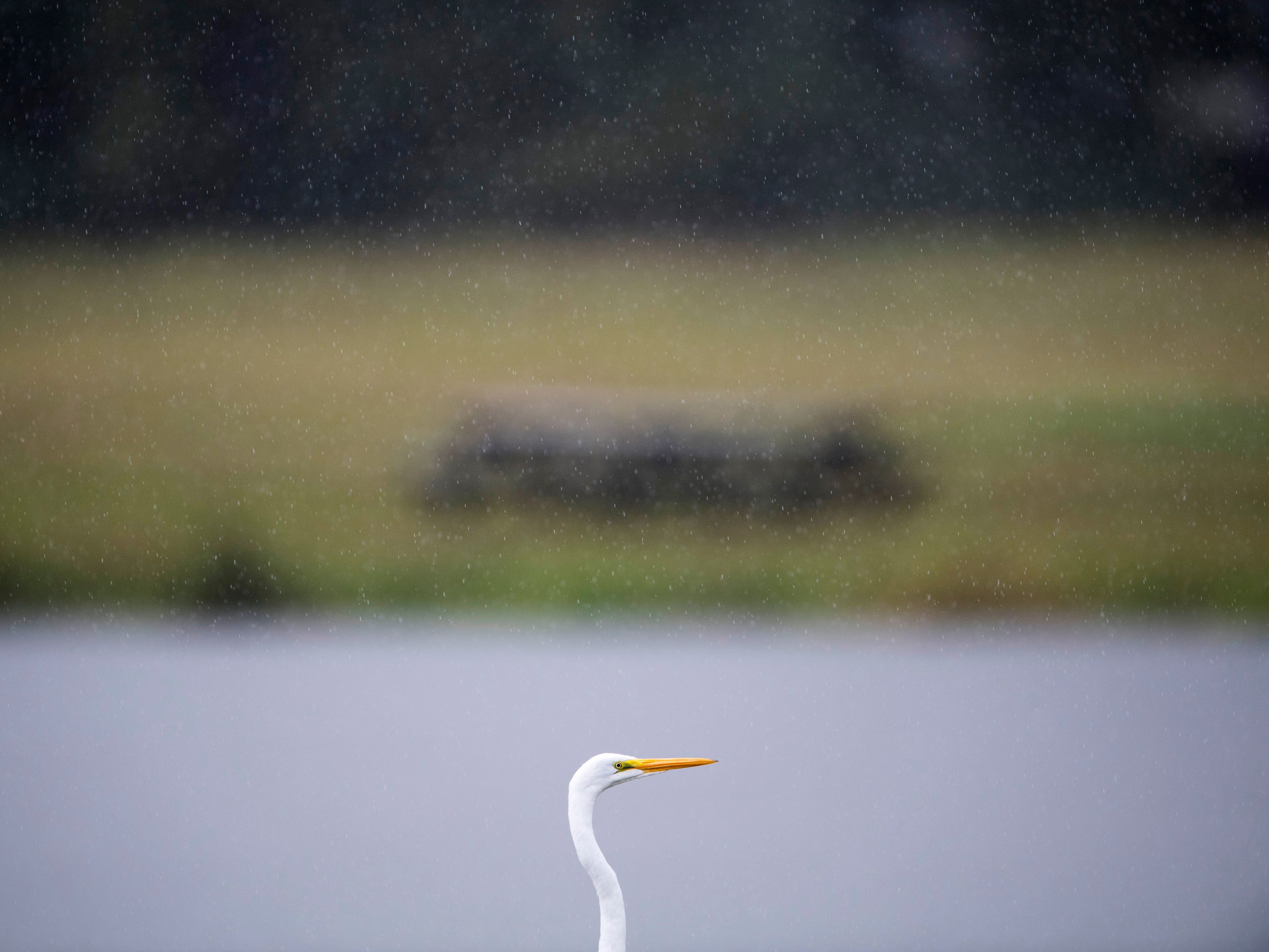 A great egret peruses the pond at Vann Road Park in Warrick County as a steady rain falls Monday morning. Rain is forecast throughout the day and Tuesday.