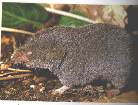 This is not a Sherman's short-tailed shrew, but its close cousin, the southern short-tailed shrew.