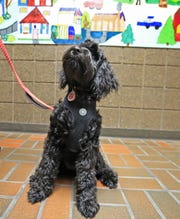 Elsie, a miniature goldendoodle, is new on staff as a therapy dog at Luxemburg-Casco Intermediate school on Sept. 18 in Luxemburg.