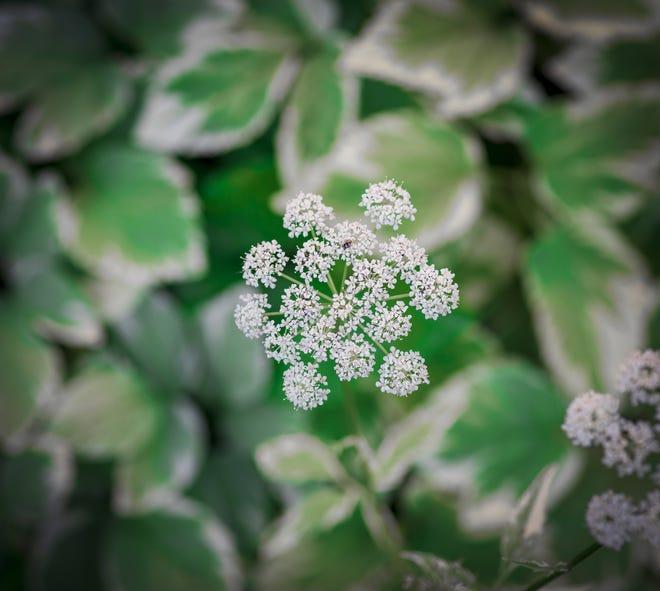 The attractive variegated goutweed or bishop weed tends to spread way beyond its boundaries.