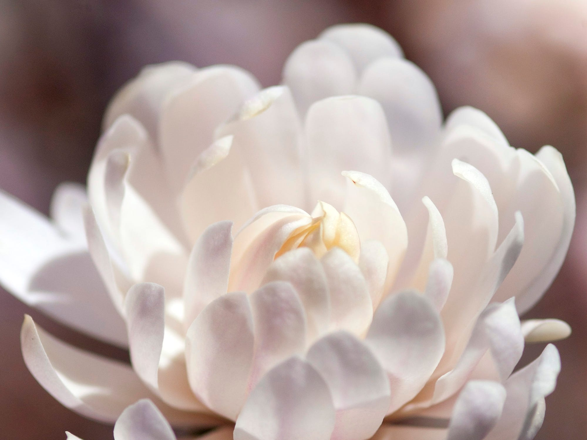 This Centennial Blush magnolia blooms double flowers.